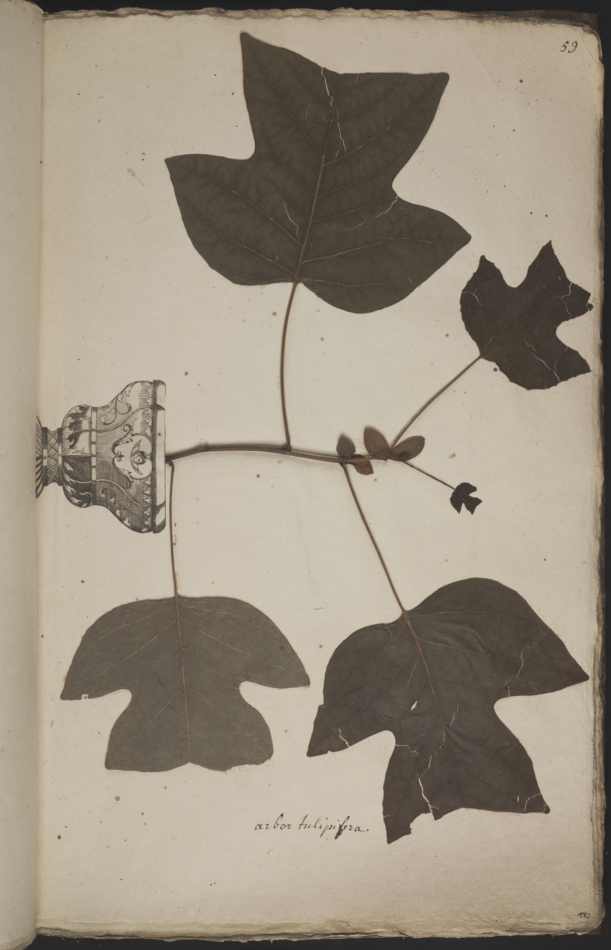 L.3960923 | Liriodendron tulipifera L.