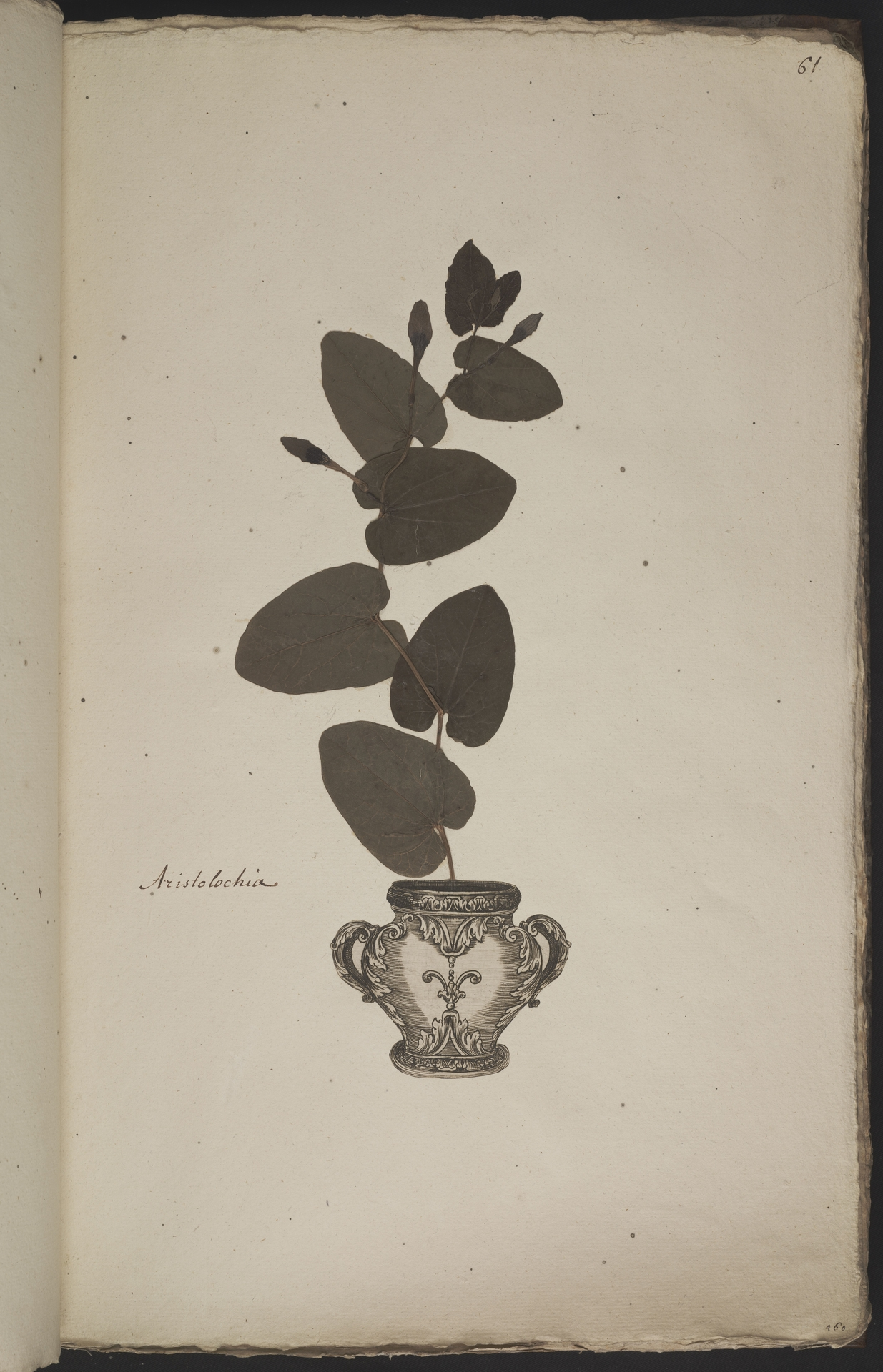 L.3960925 | Aristolochia rotunda L.