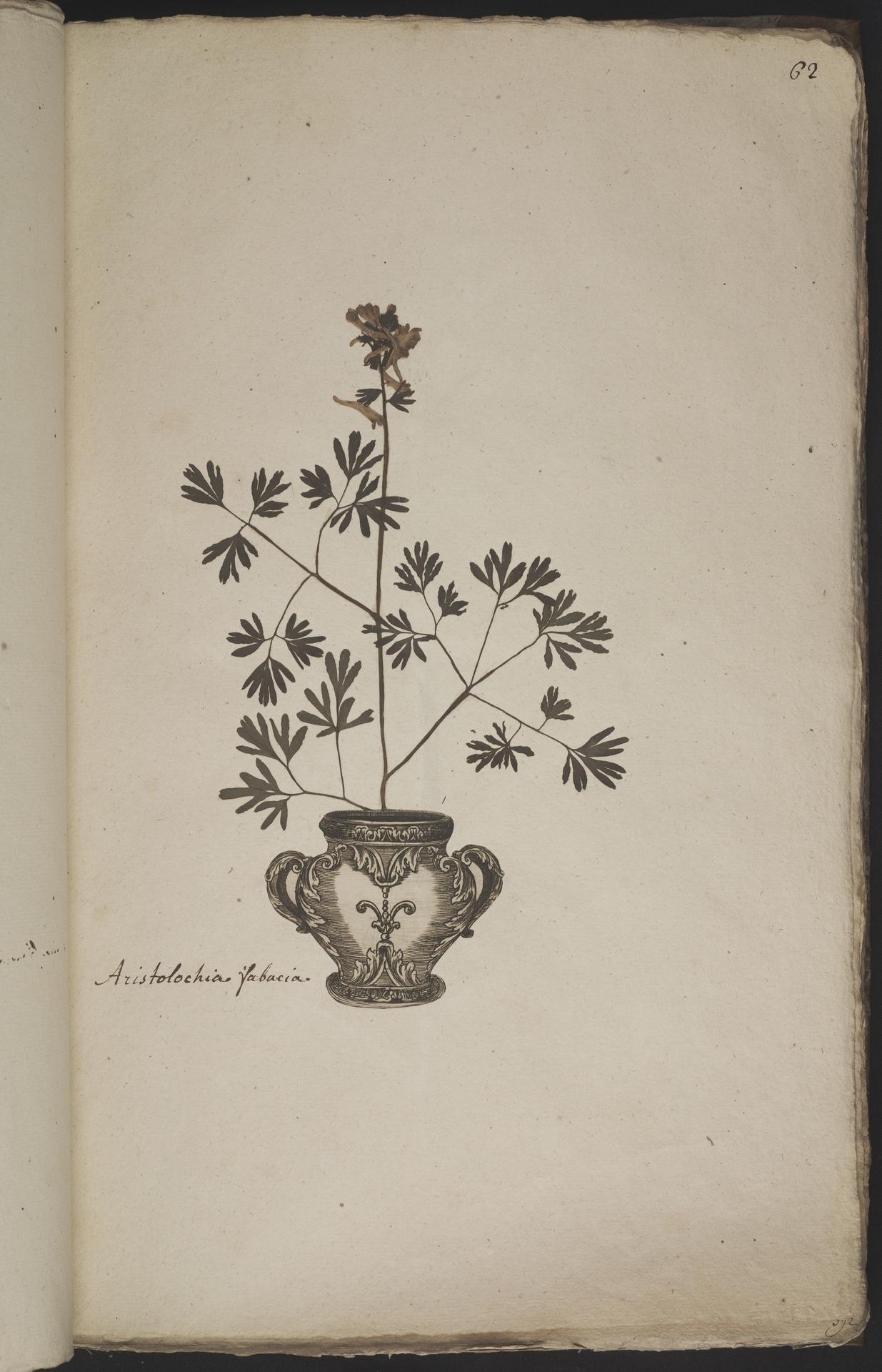 L.3960926 | Corydalis solida (L.) Clairv.