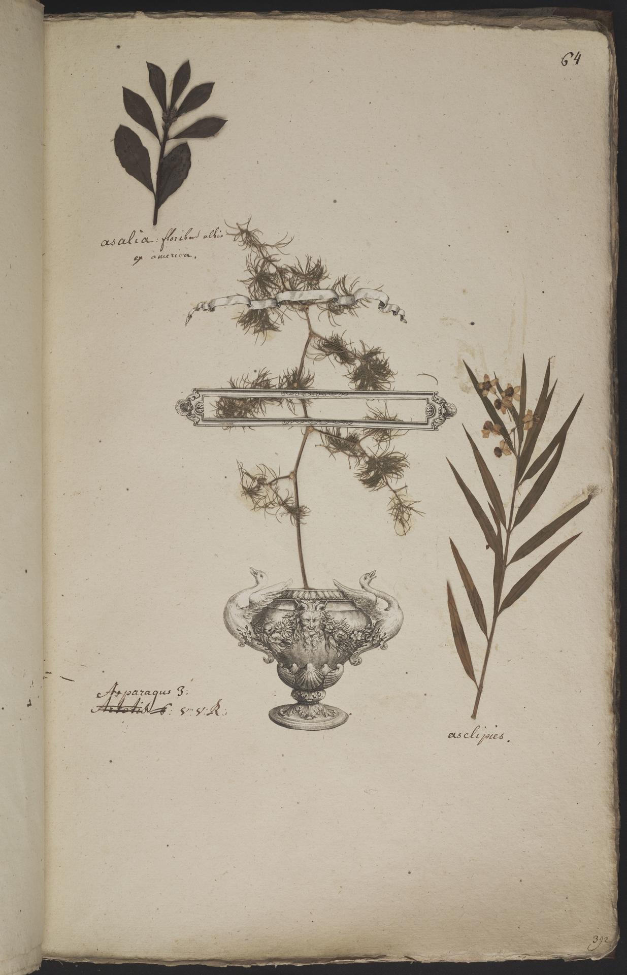 L.3960929 | Asparagus umbellatus Link
