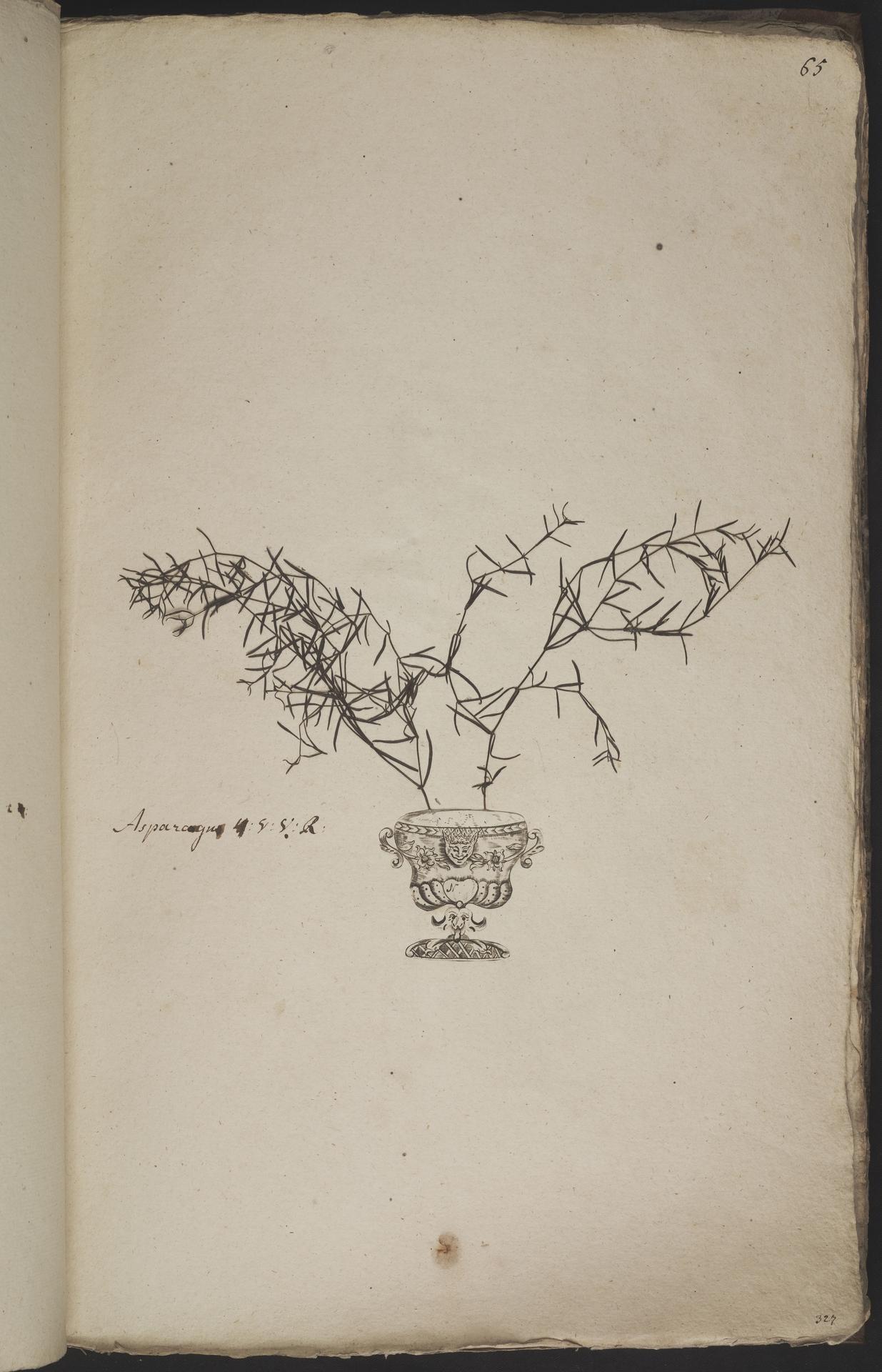 L.3960931 | Asparagus aethiopicus L.