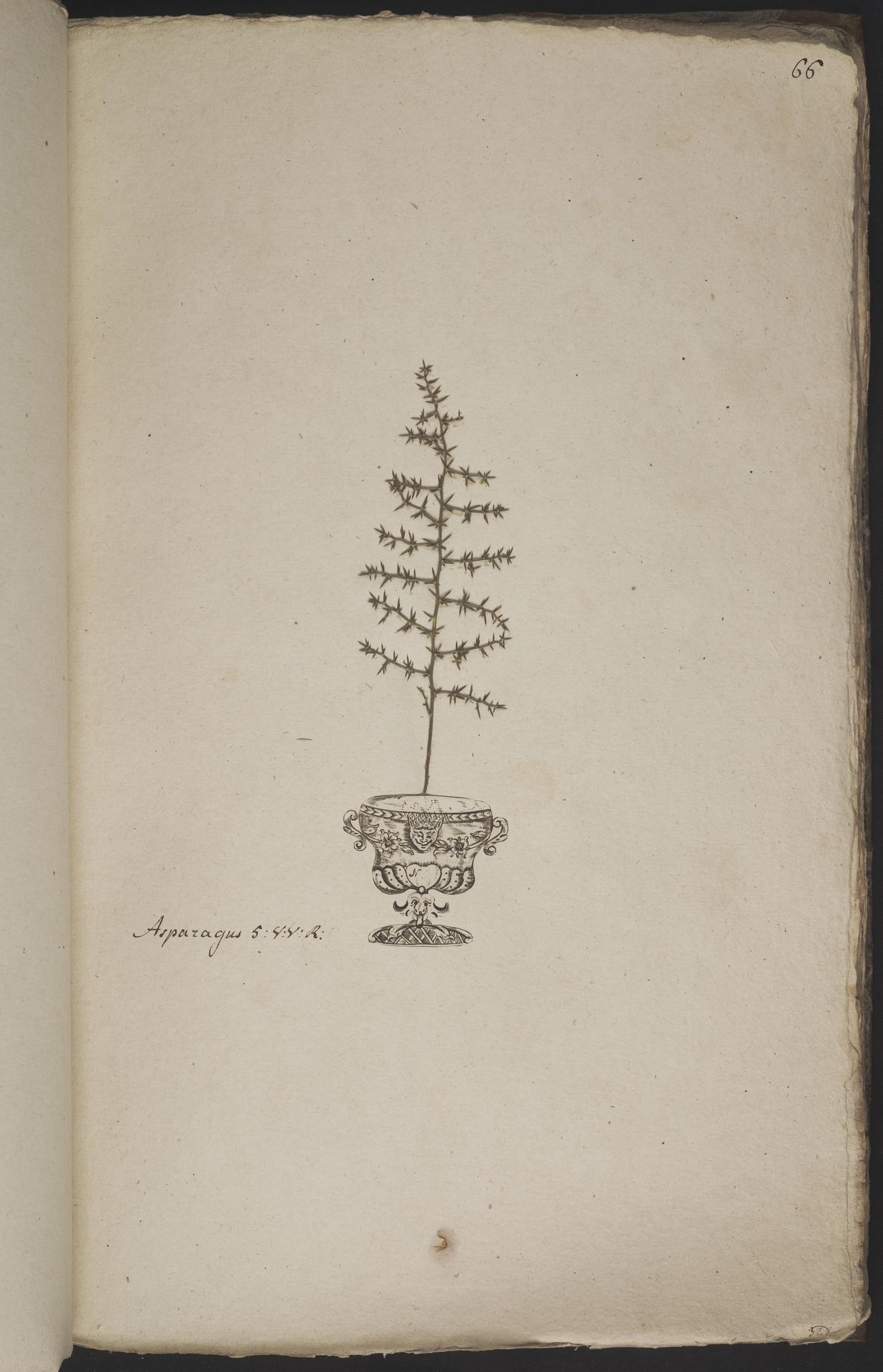 L.3960932 | Asparagus acutifolius L.