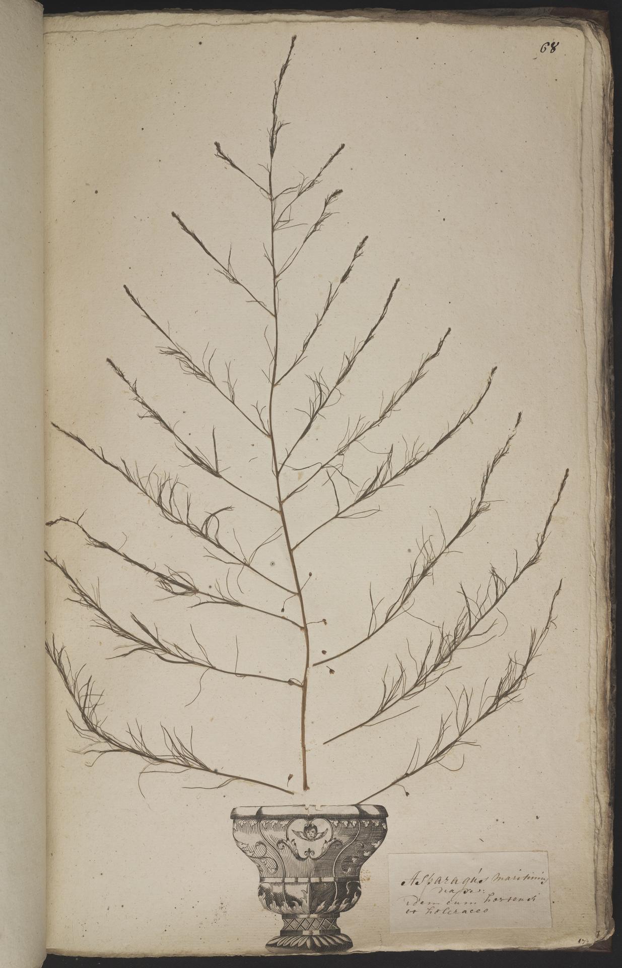 L.3960934 | Asparagus officinalis L.