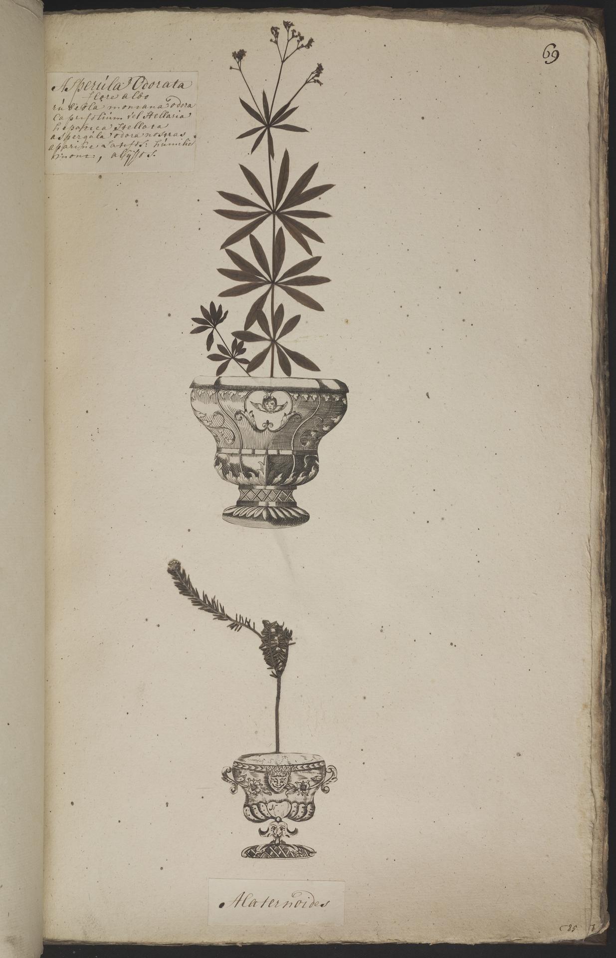 L.3960935 | Galium odoratum (L.) Scop.
