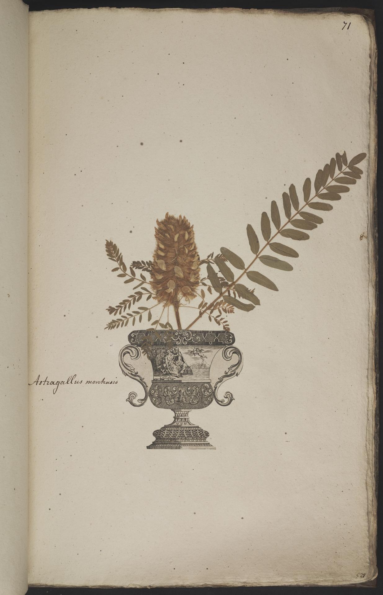 L.3960938 | Astragalus alopecuroides L.