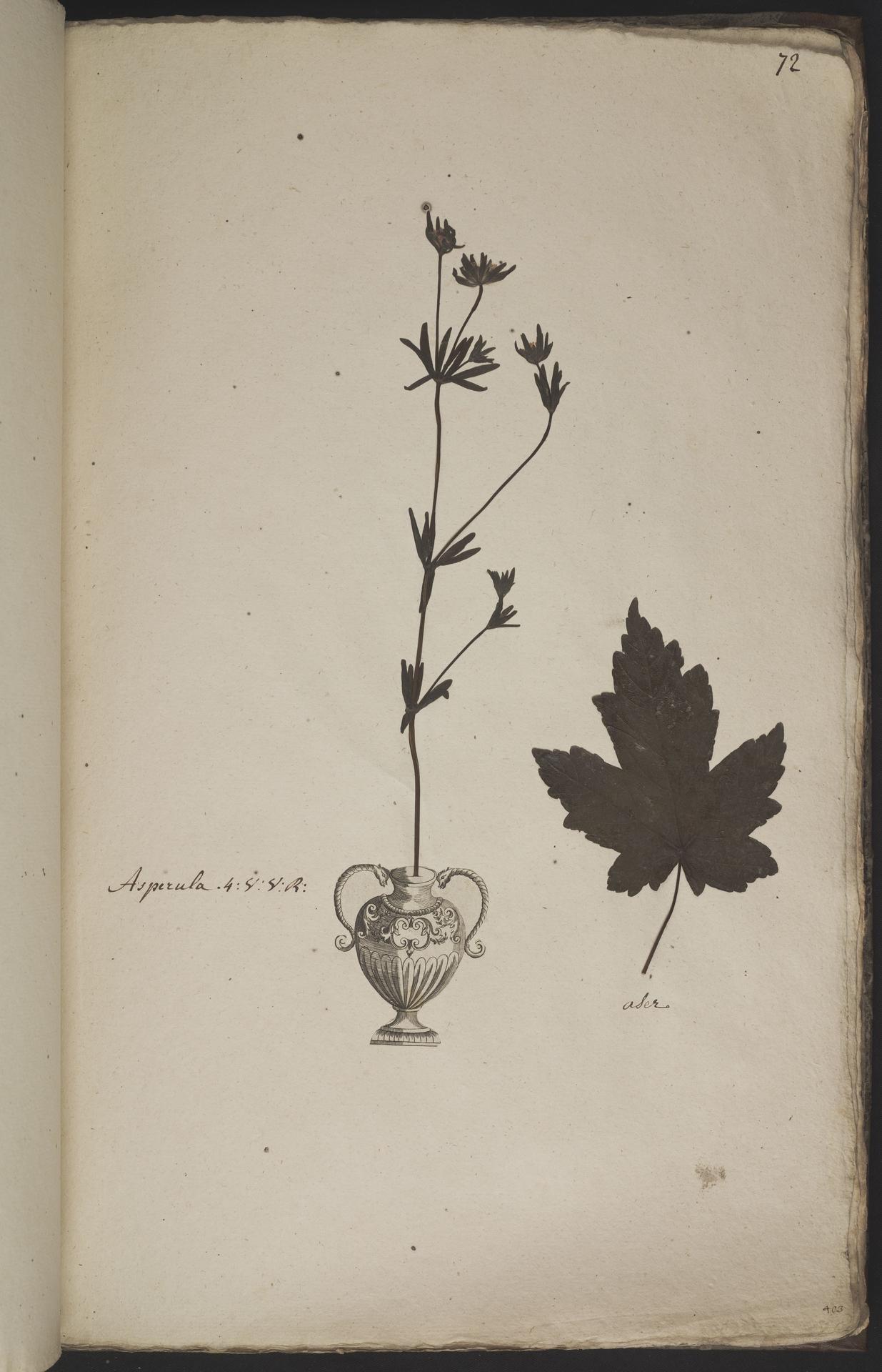 L.3960939 | Asperula arvensis L.