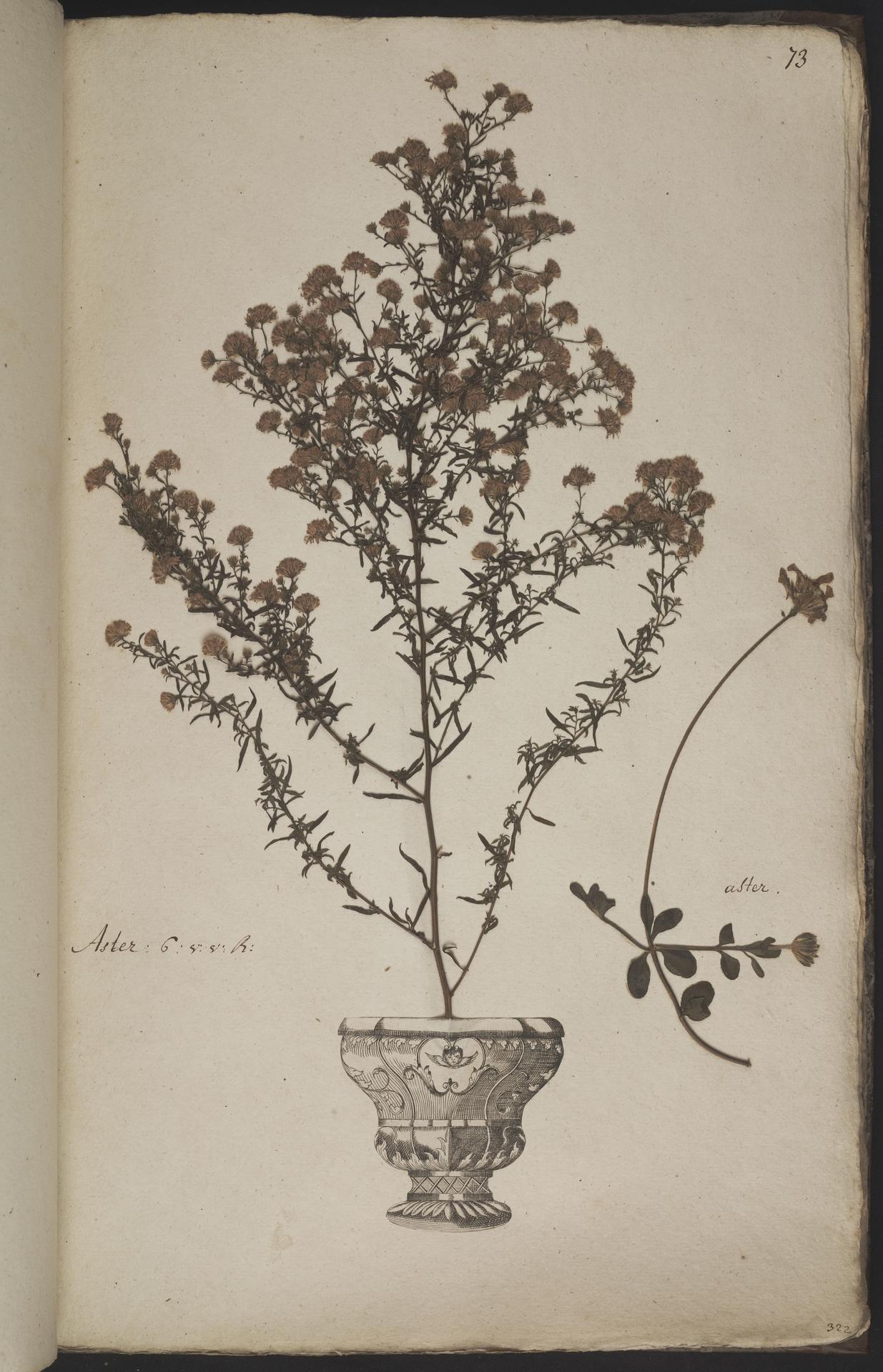 L.3960942 | Felicia amelloides (L.) Voss