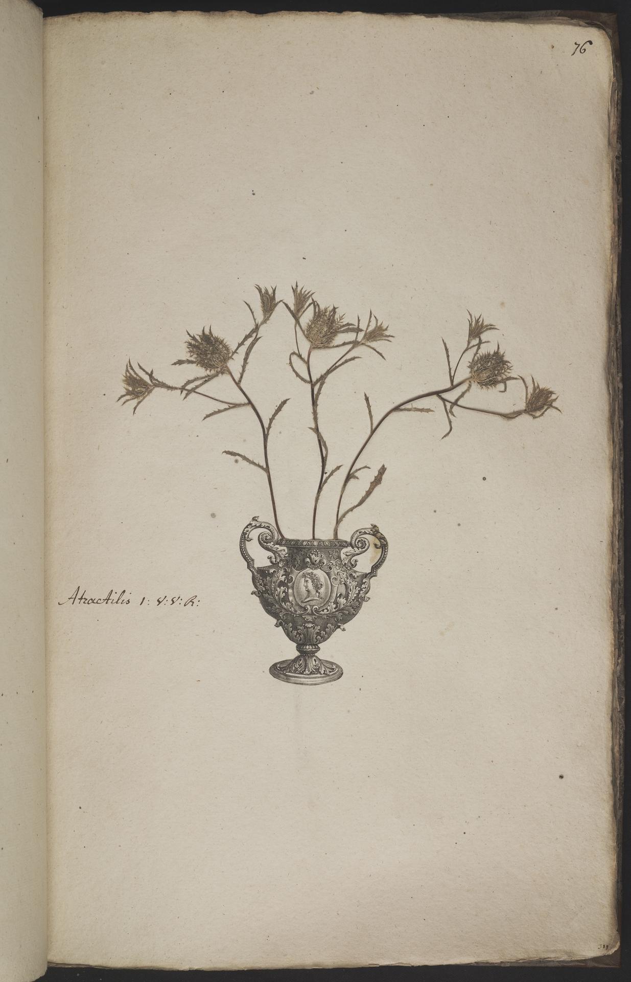 L.3960945 | Atractylis cancellata L.