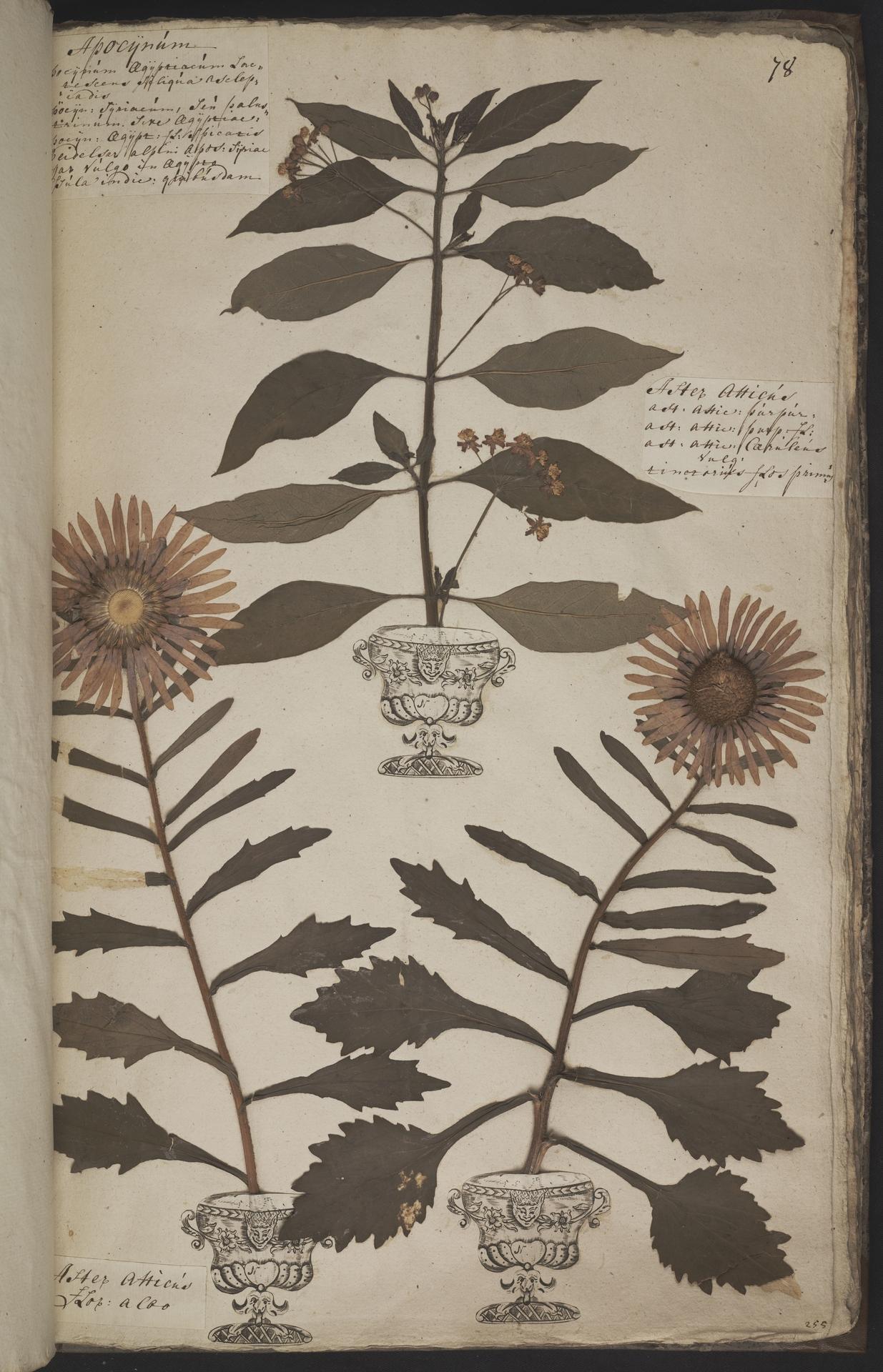 L.3960948 | Callistephus chinensis (L.) Nees