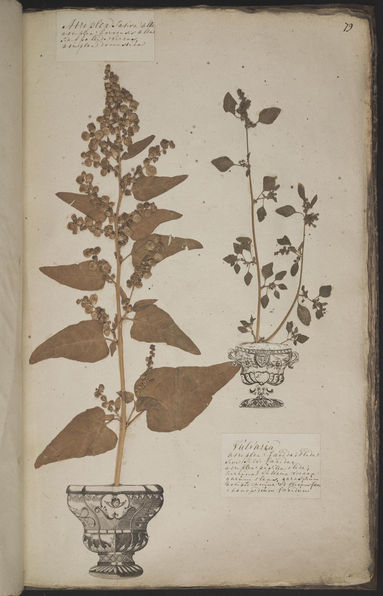 L.3960951 | Chenopodium vulvaria L.