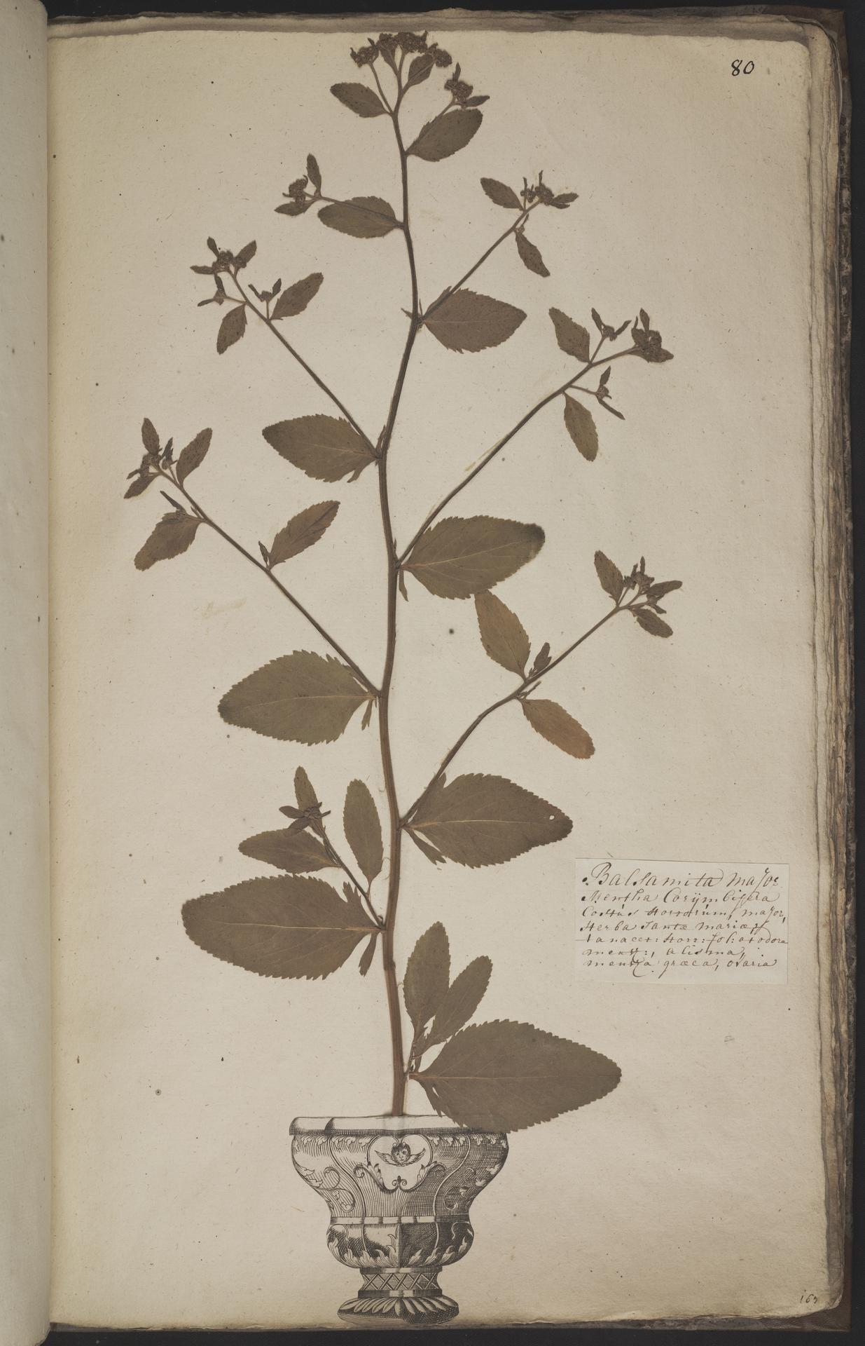 L.3960952 | Tanacetum balsamita L.