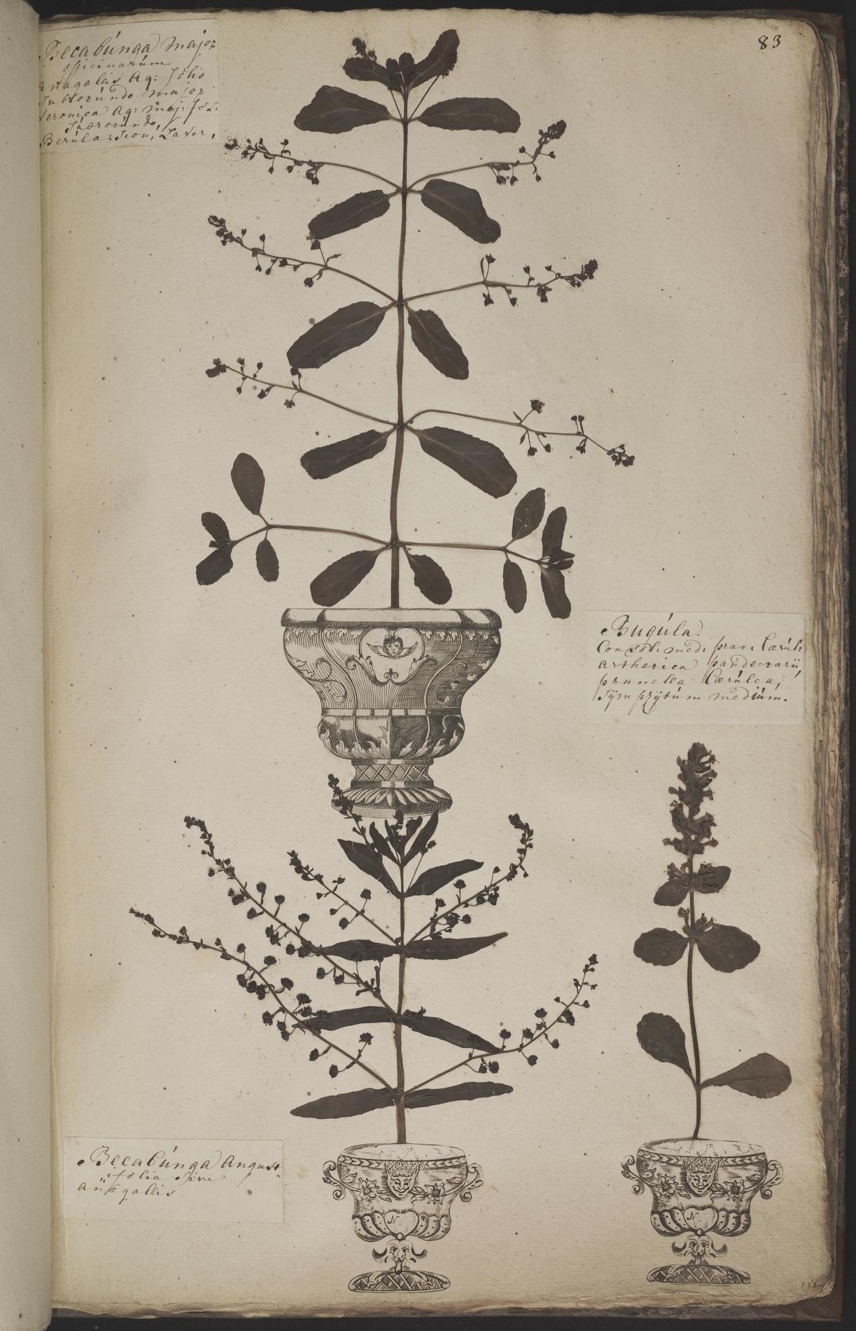 L.3960956 | Veronica beccabunga L.