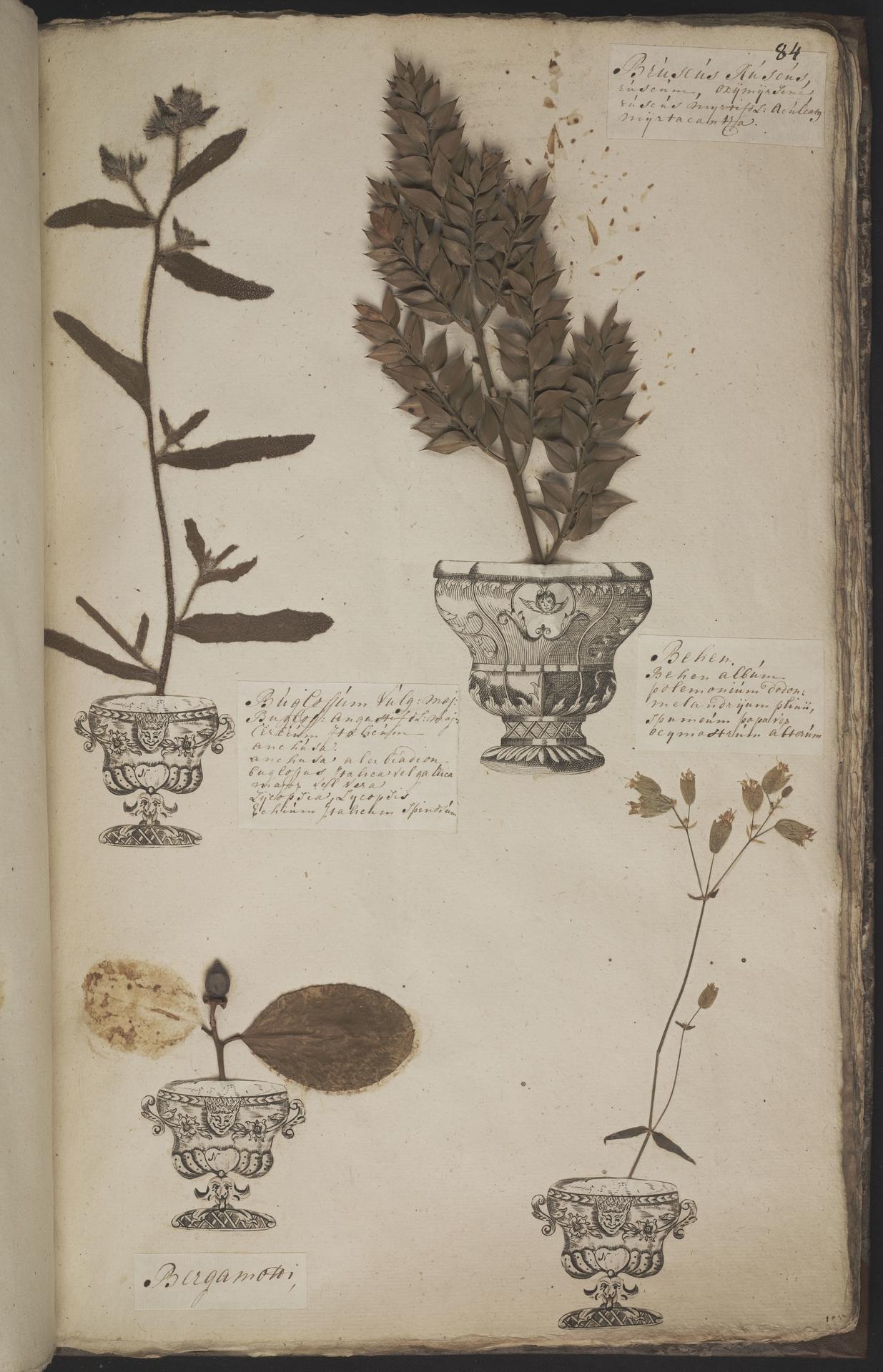 L.3960960 | Ruscus aculeatus L.