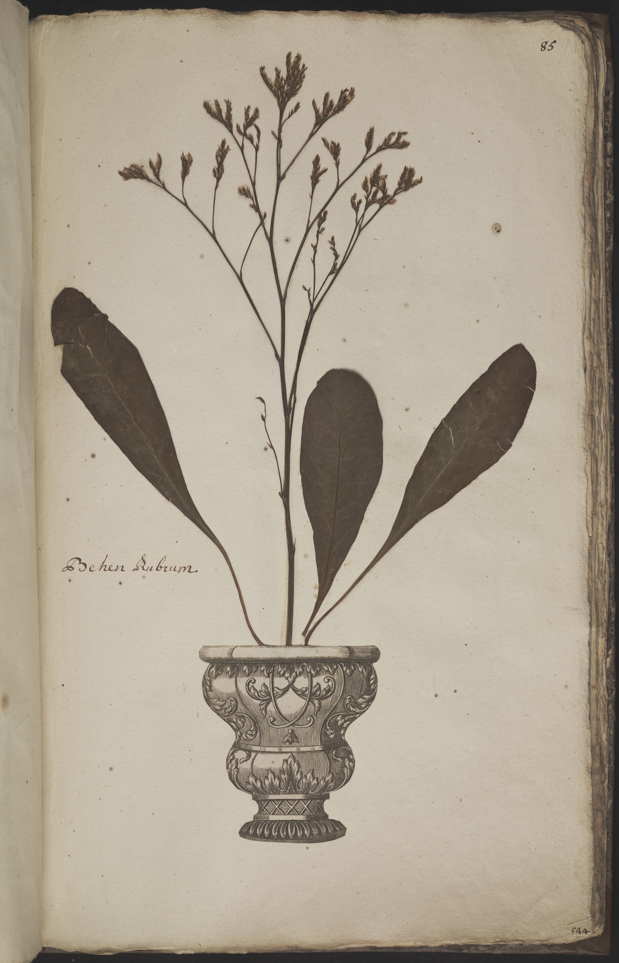 L.3960963 | Limonium vulgare Mill.