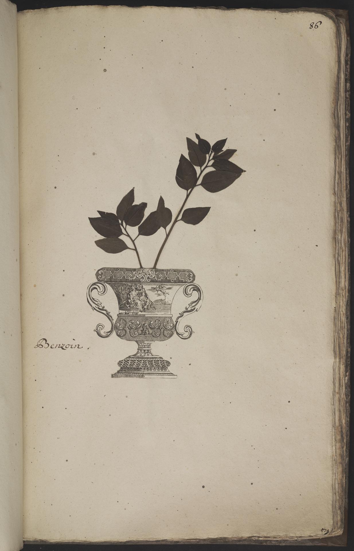 L.3960964 | Lindera benzoin (L.) Blume