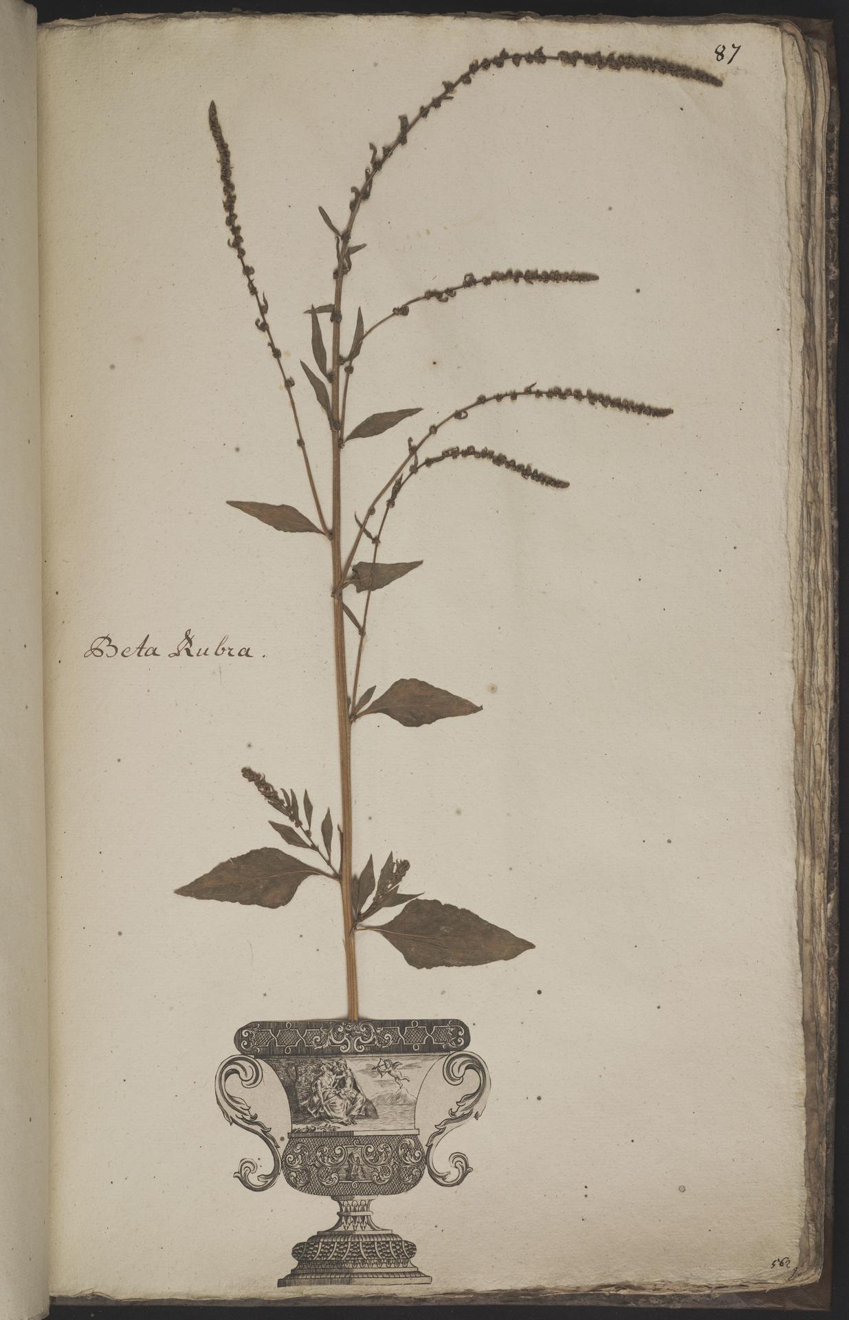 L.3960965 | Beta vulgaris L.