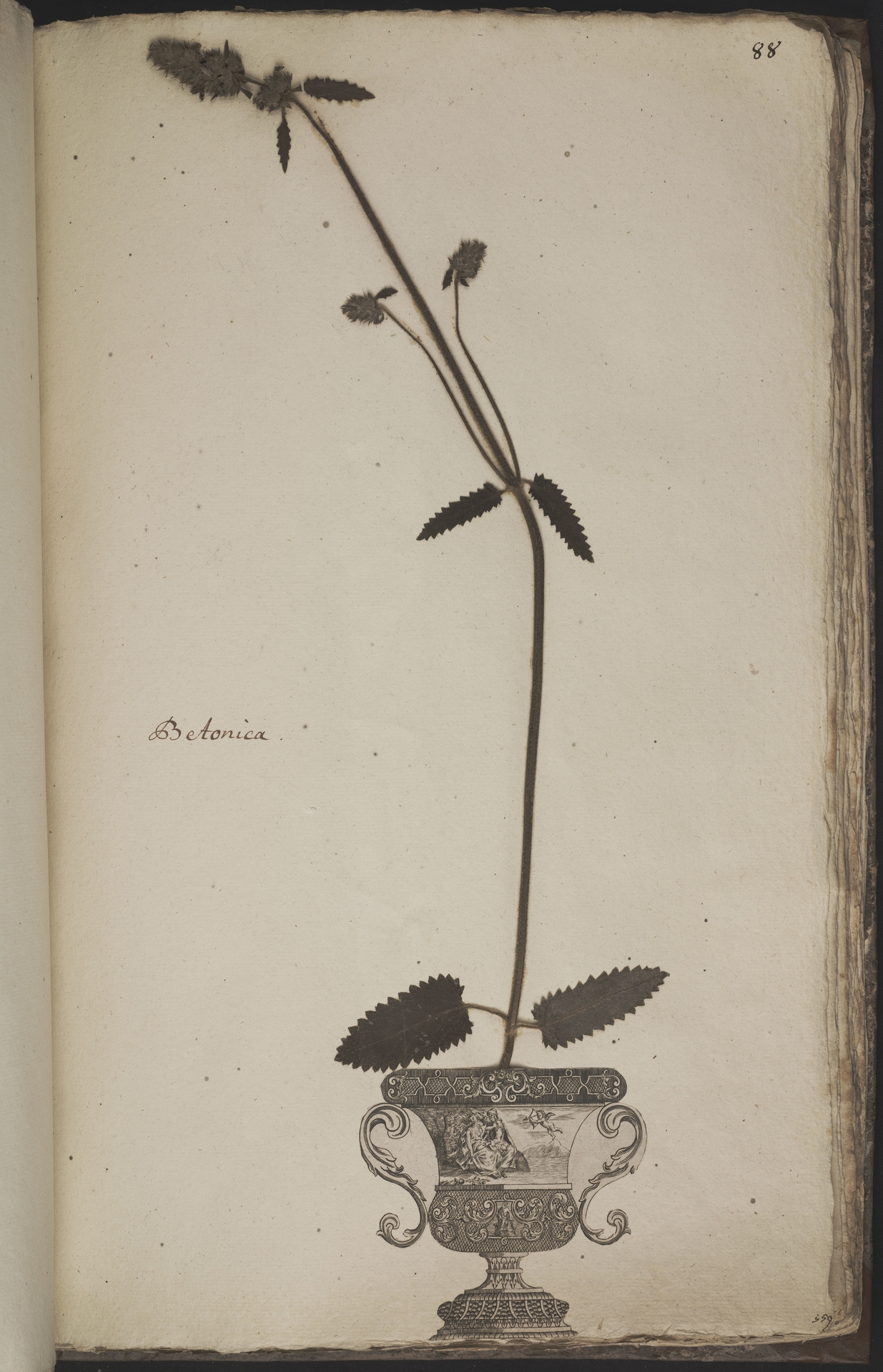 L.3960966 | Stachys officinalis (L.) Trevis.