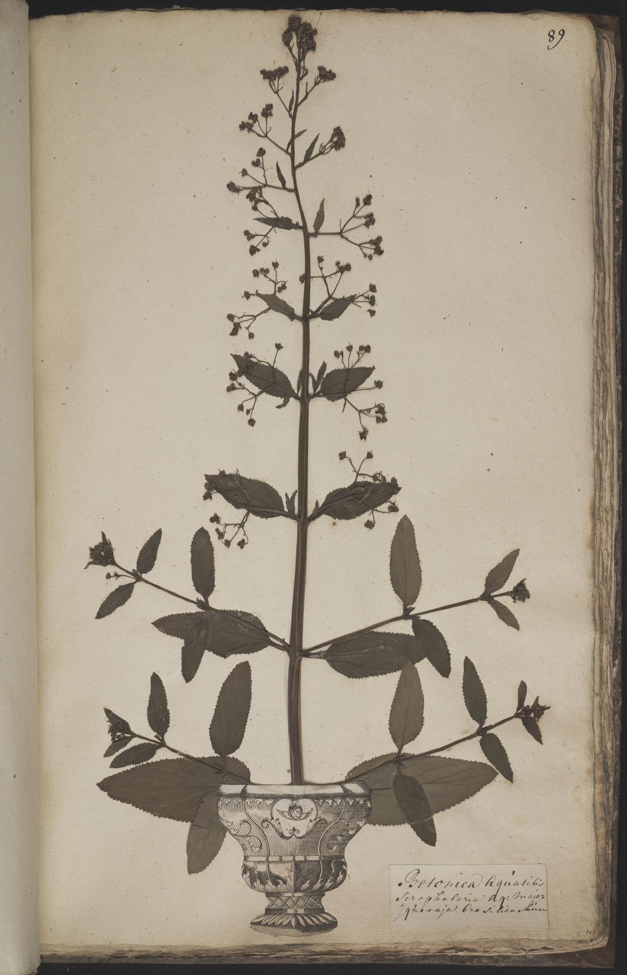 L.3960967 | Scrophularia auriculata L.