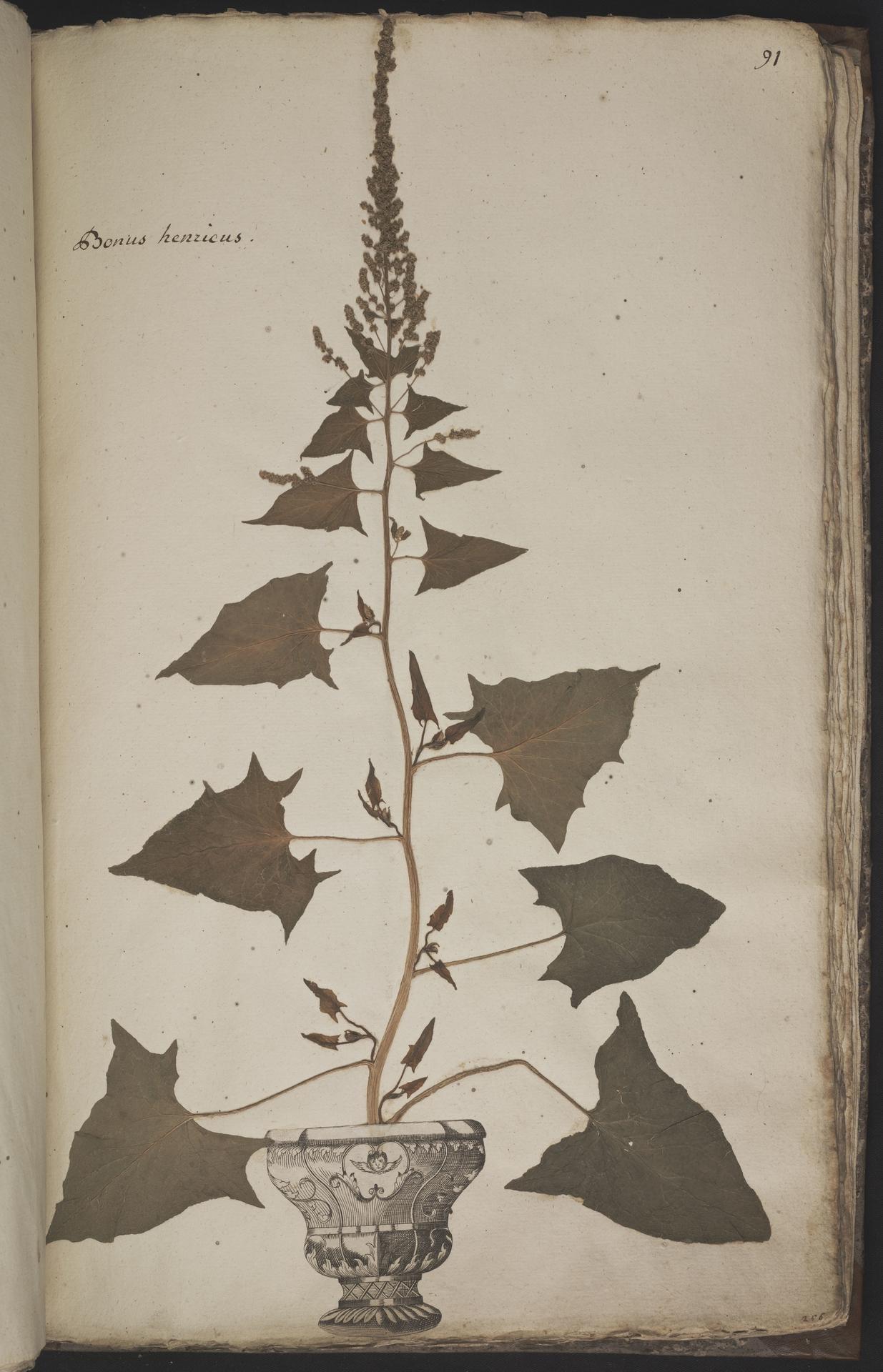 L.3960969 | Chenopodium bonus-henricus L.
