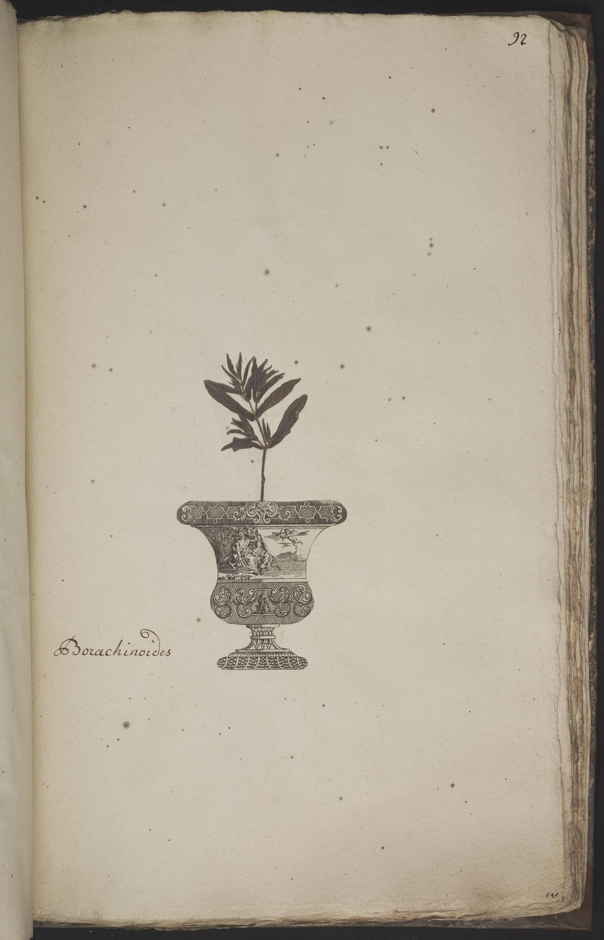 L.3960970 | Lithospermum arvense L.