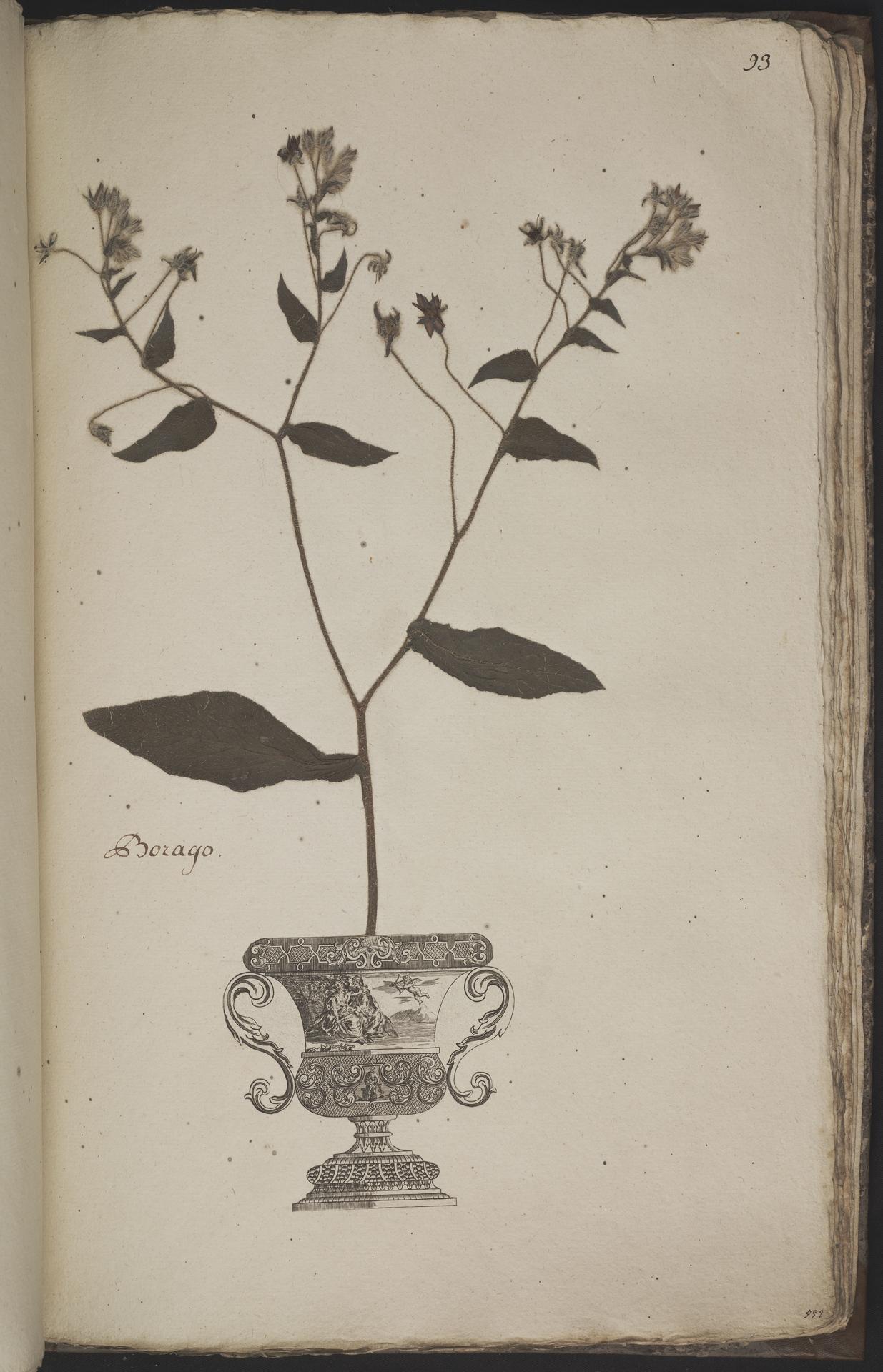 L.3960971 | Borago officinalis L.