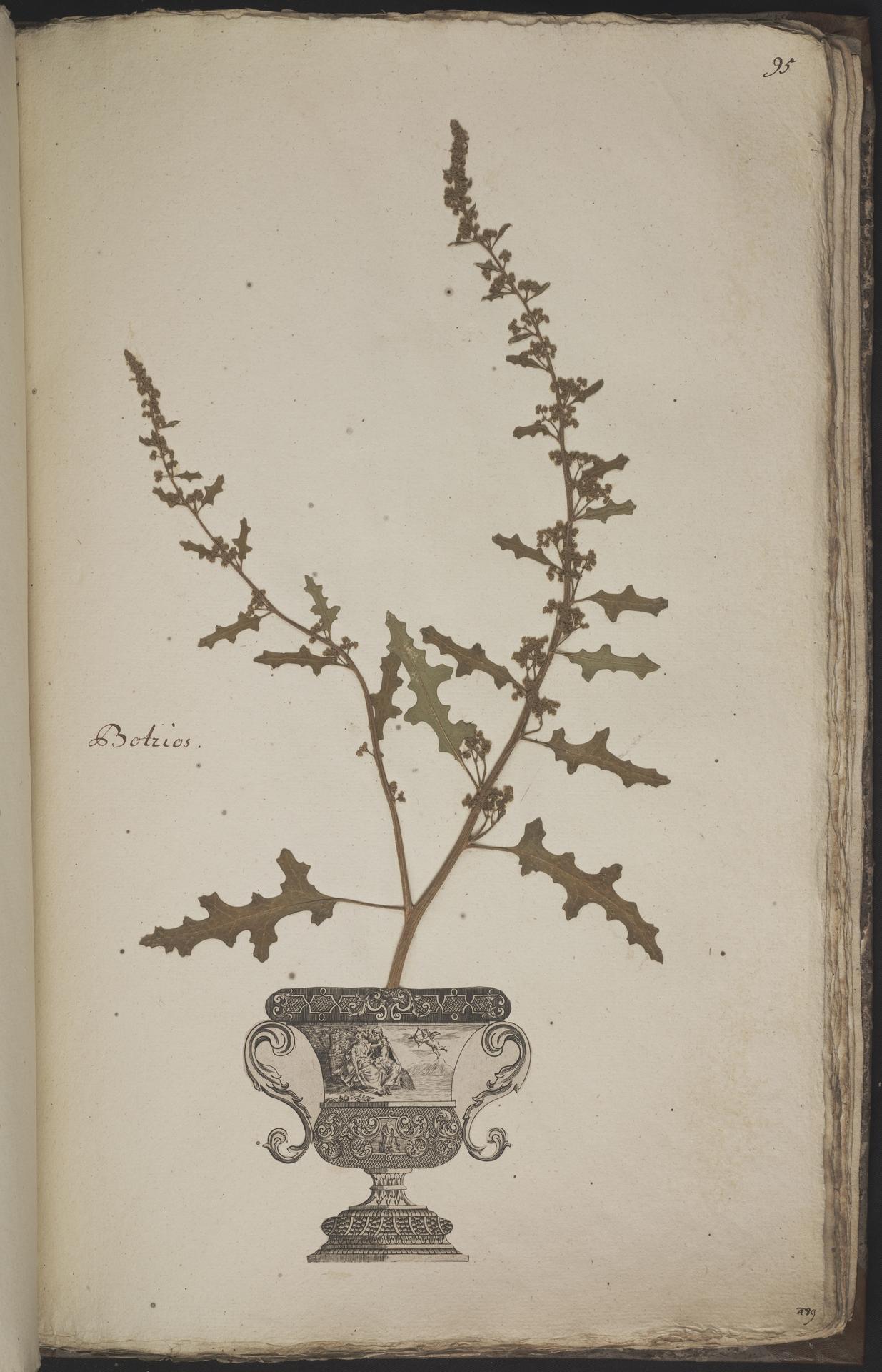L.3960973 | Dysphania botrys (L.) Mosyakin & Clemants