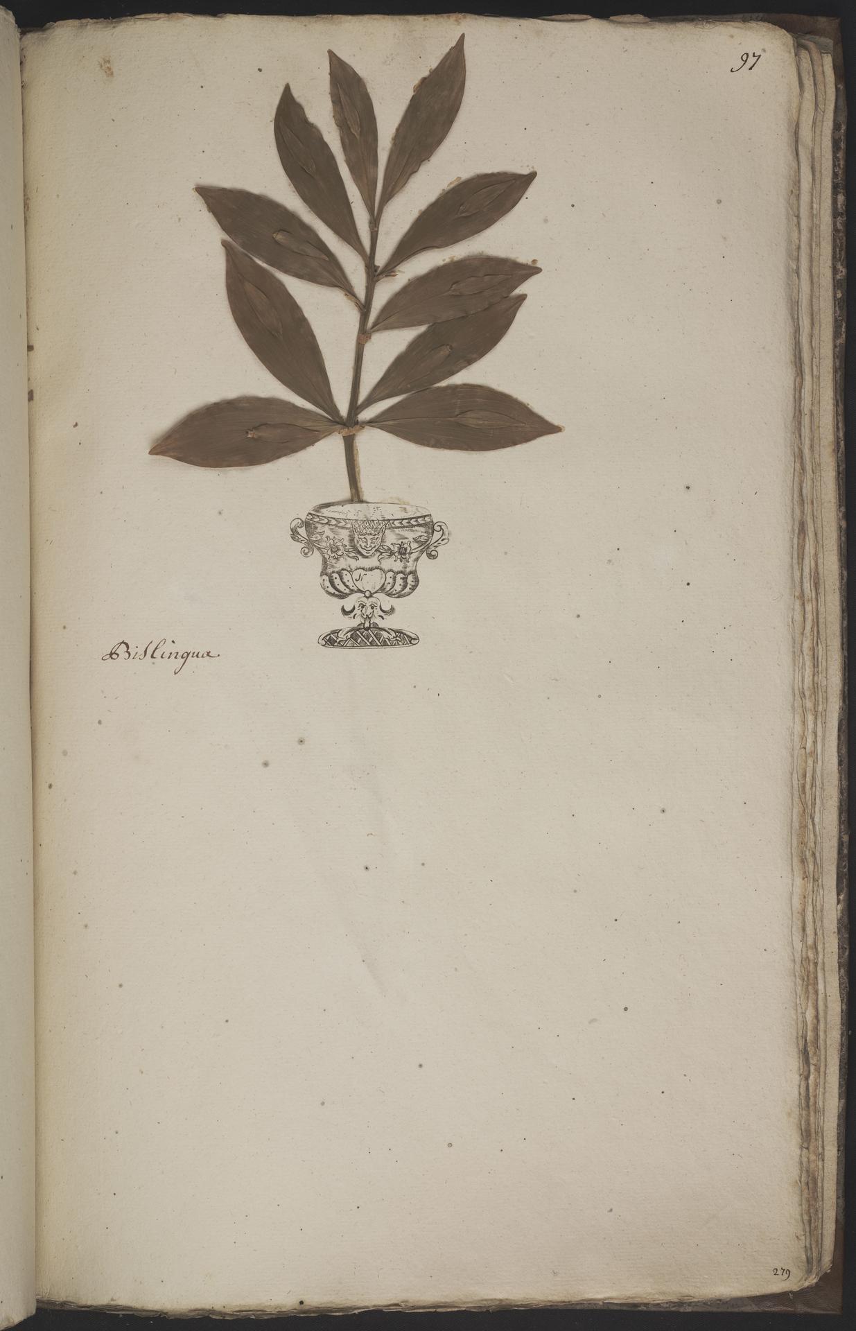 L.3960975 | Ruscus hypoglossum L.