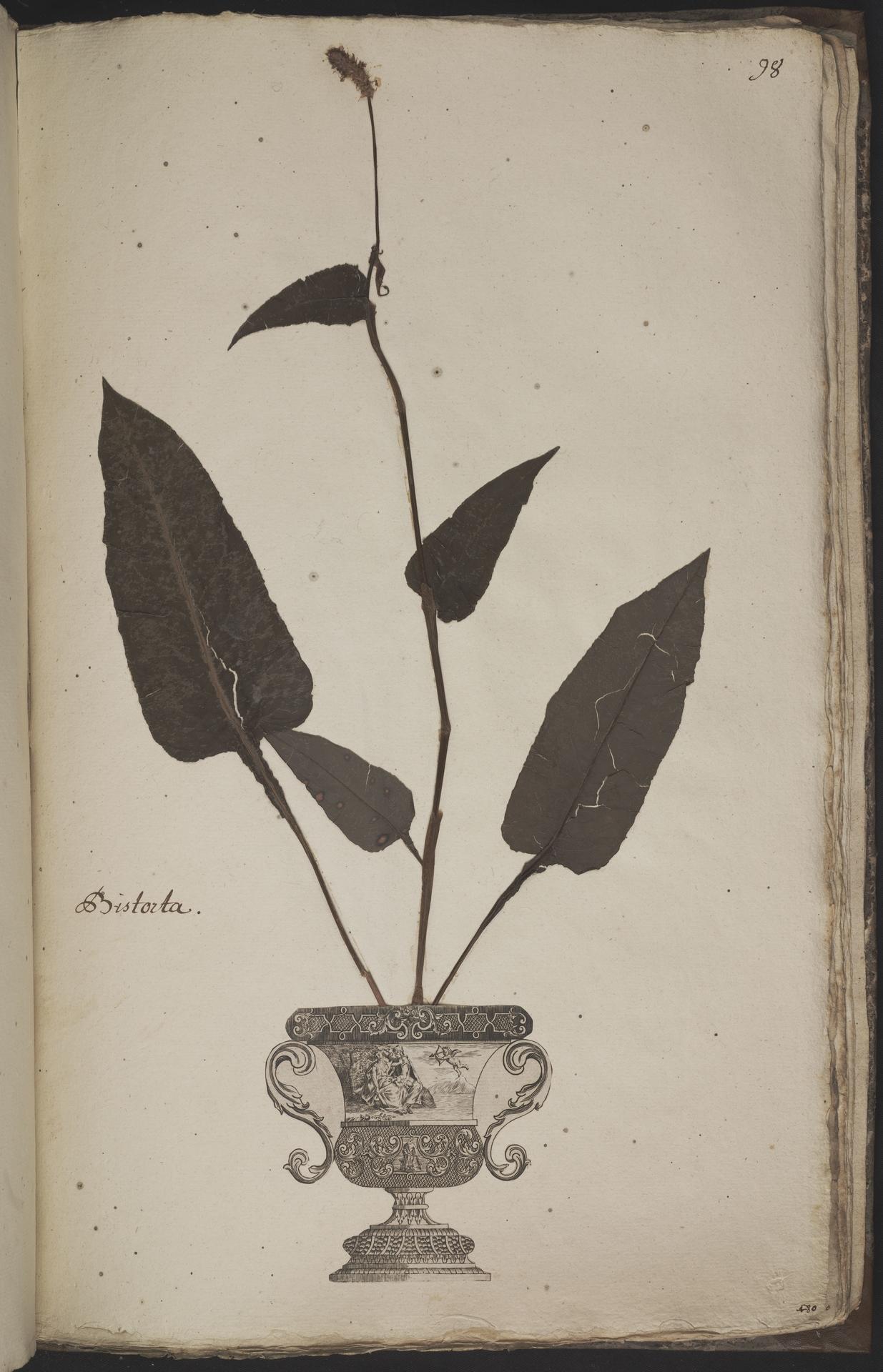 L.3960976 | Persicaria bistorta (L.) Samp.