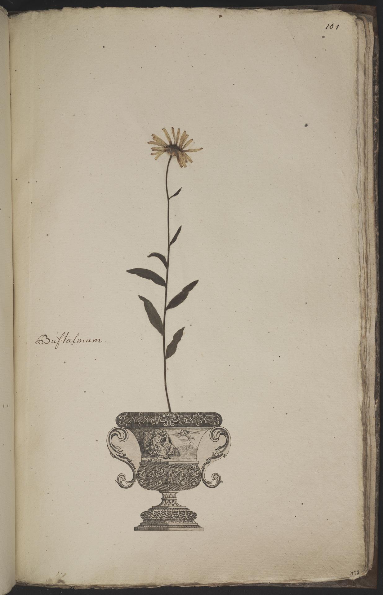 L.3960979 | Buphthalmum salicifolium L.
