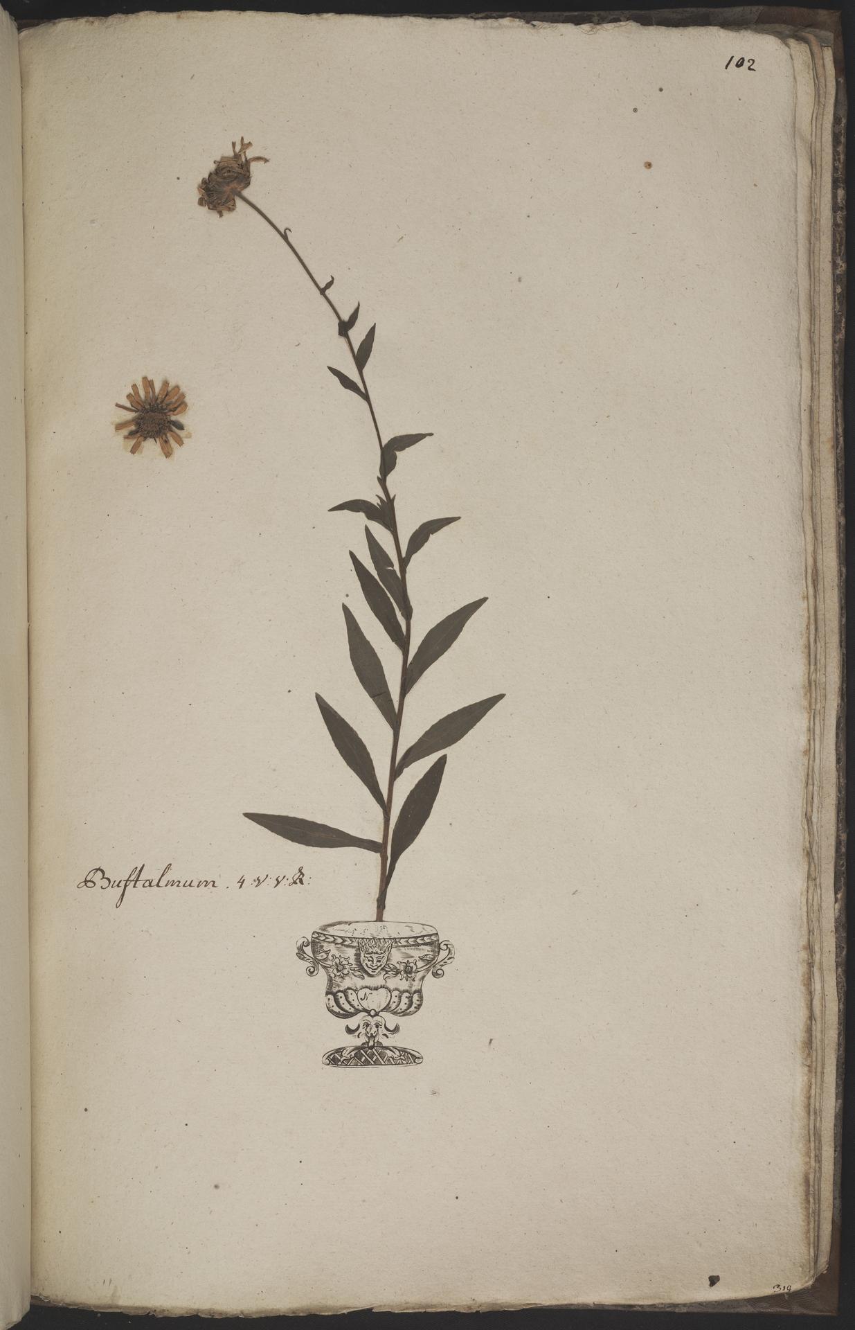 L.3960980 | Buphthalmum salicifolium L.