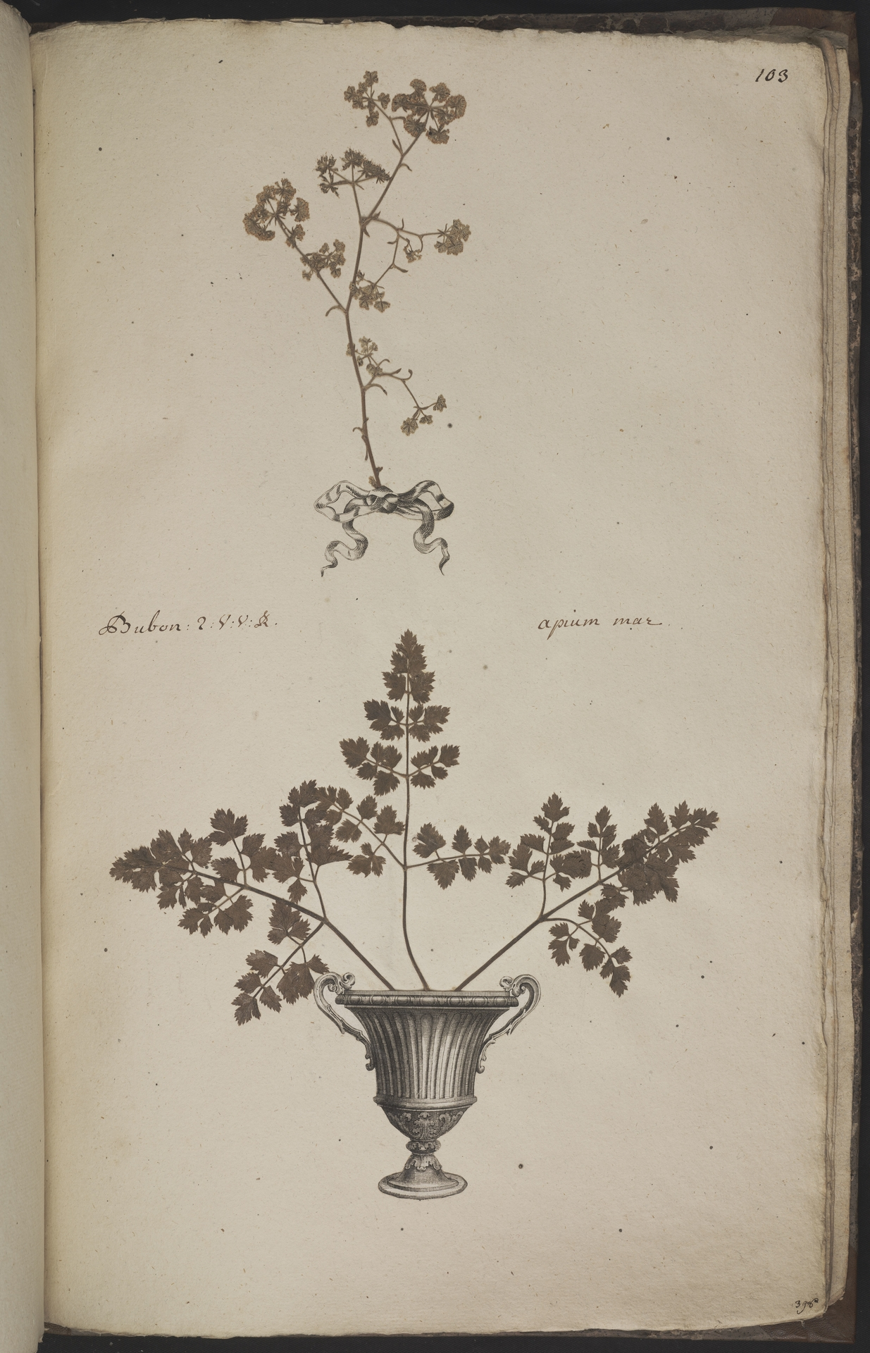 L.3960981 | Notobubon galbanum (L.) Magee