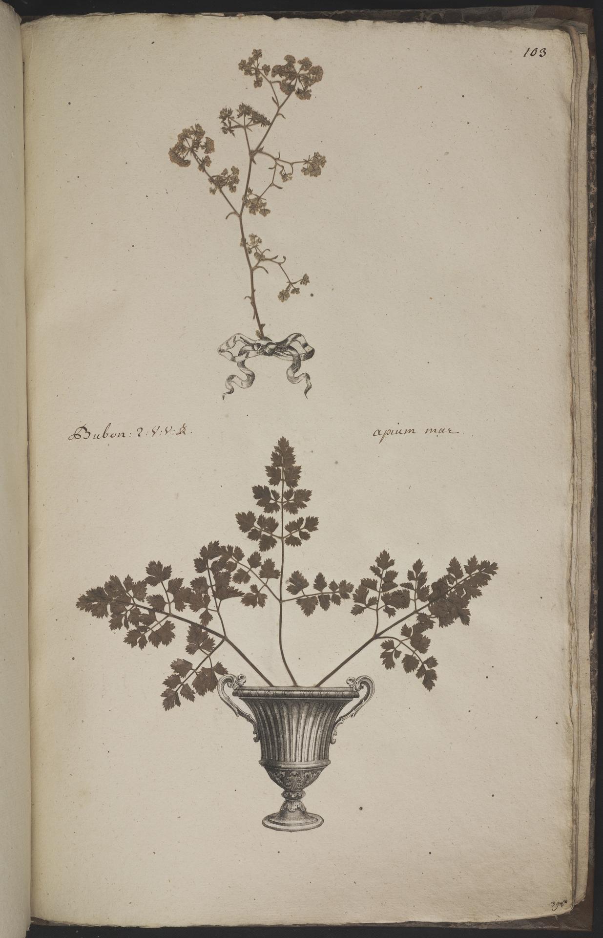 L.3960982 | Apium graveolens L.