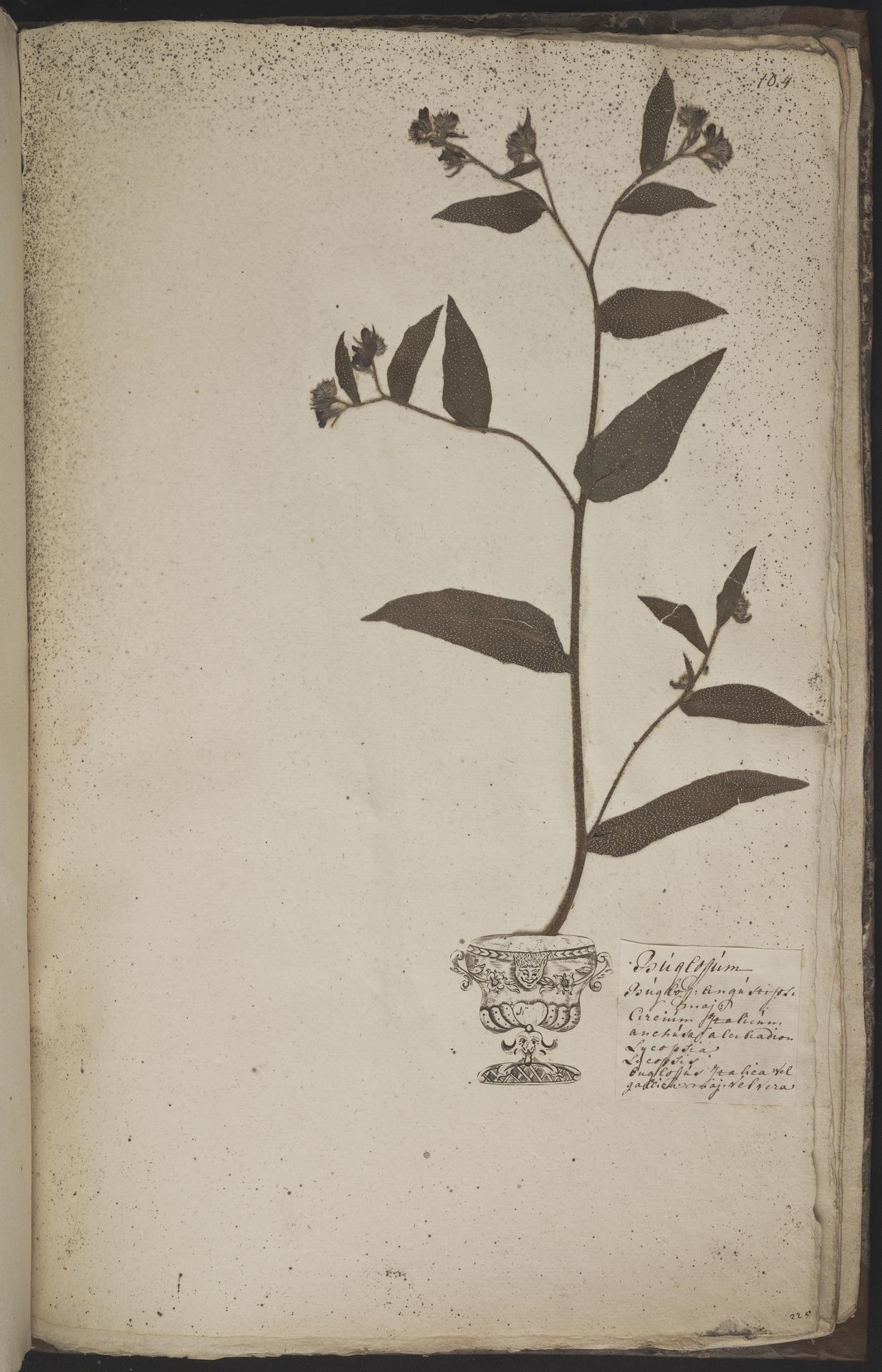 L.3960983 | Anchusa azurea Mill.
