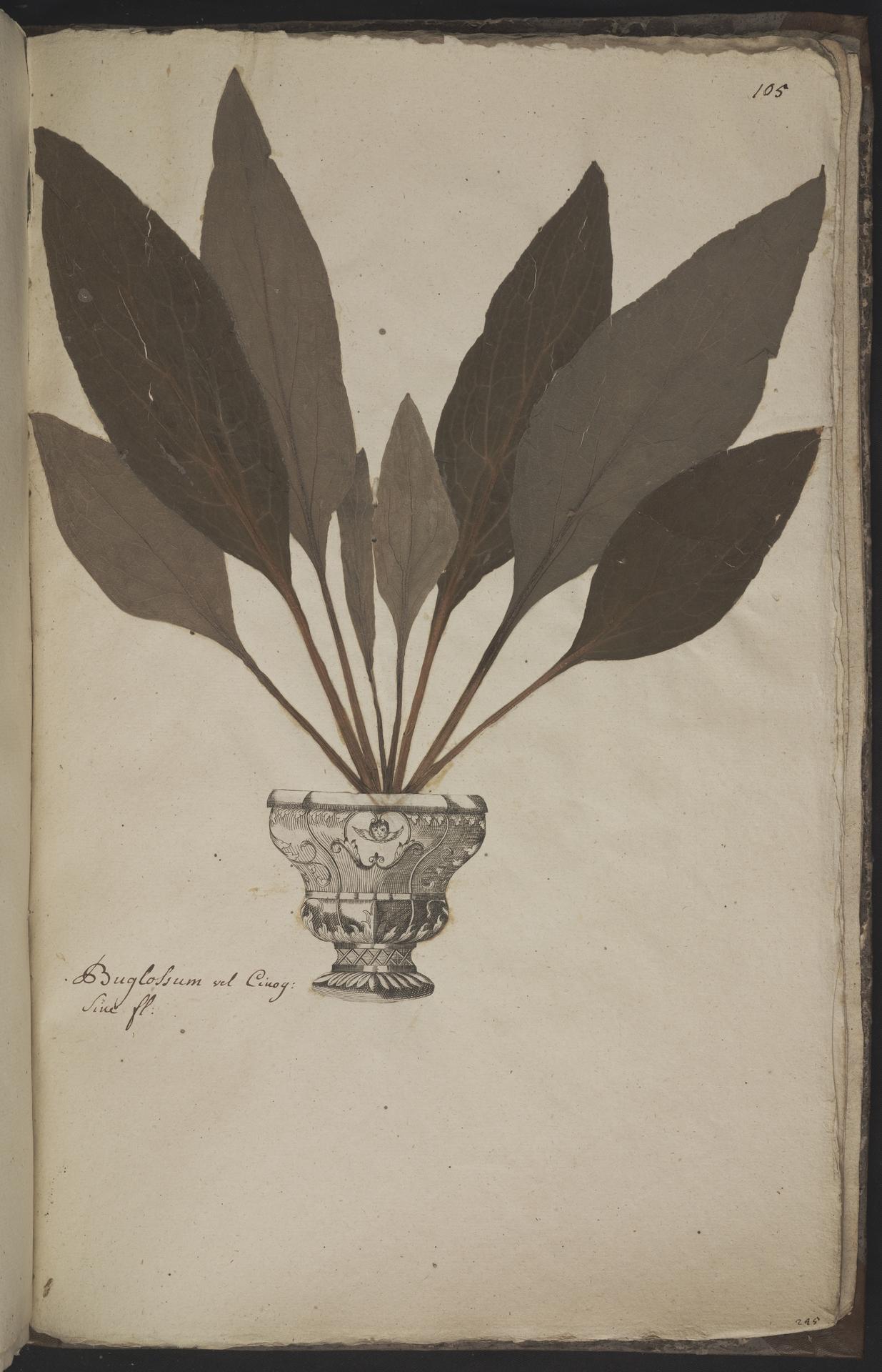 L.3960984 | Borago officinalis L.