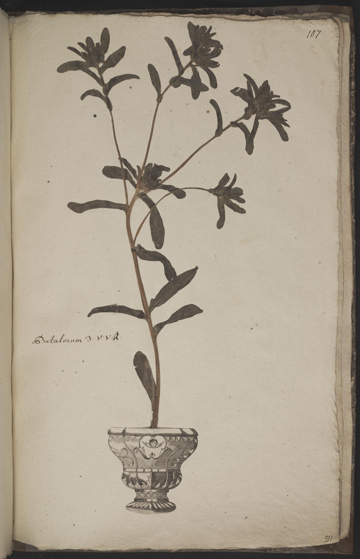 L.3960986 | Pallenis maritima (L.) Greuter