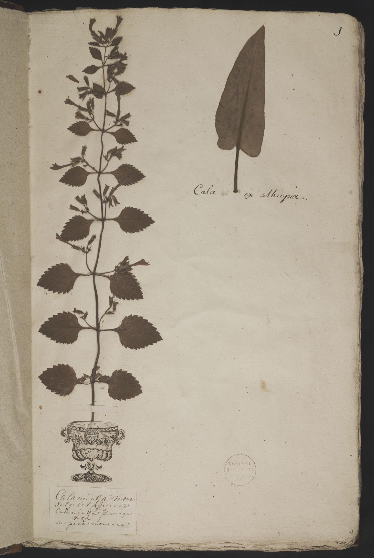 L.3960987 | Clinopodium grandiflorum (L.) Kuntze
