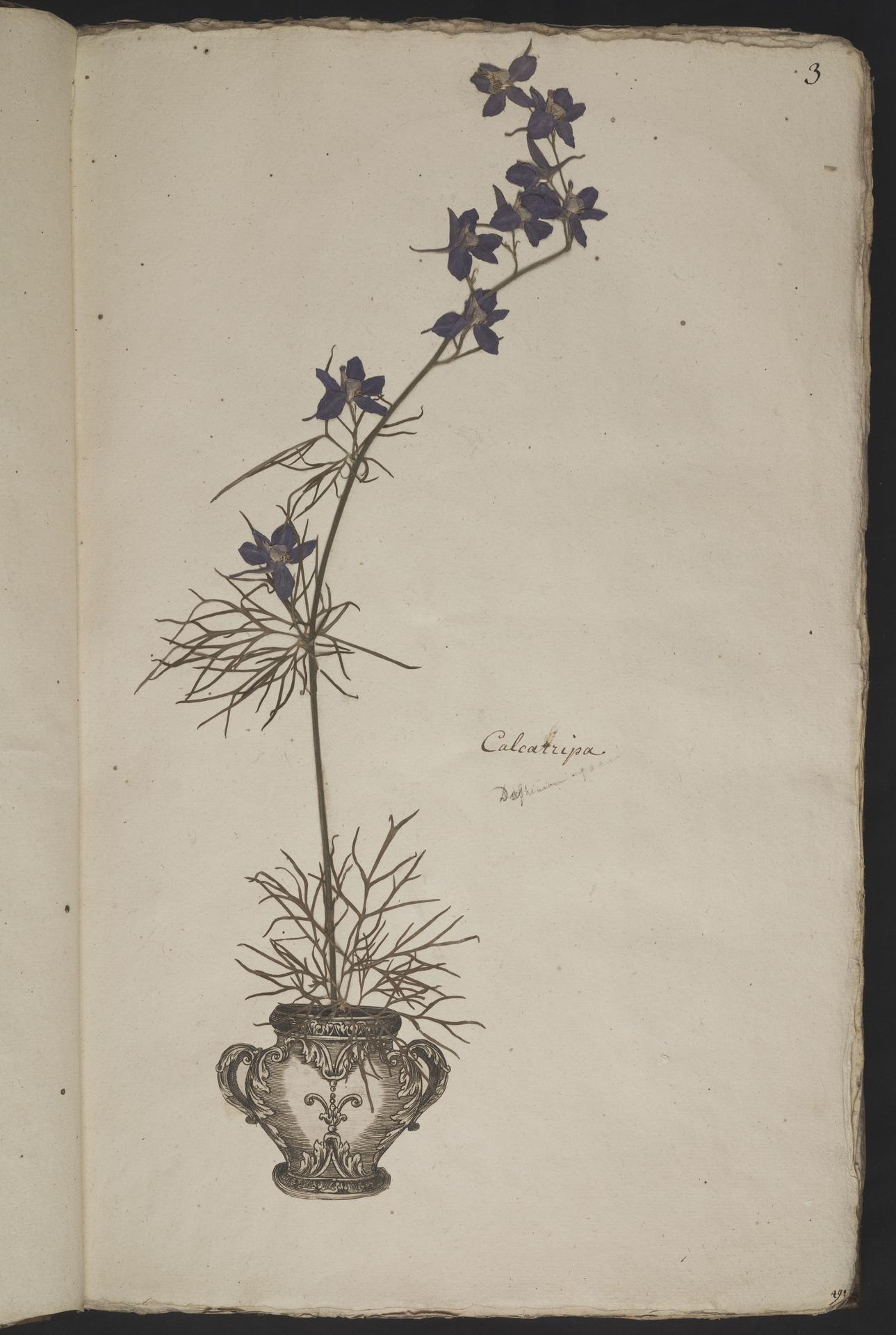 L.3960990 | Consolida ajacis (L.) Schur