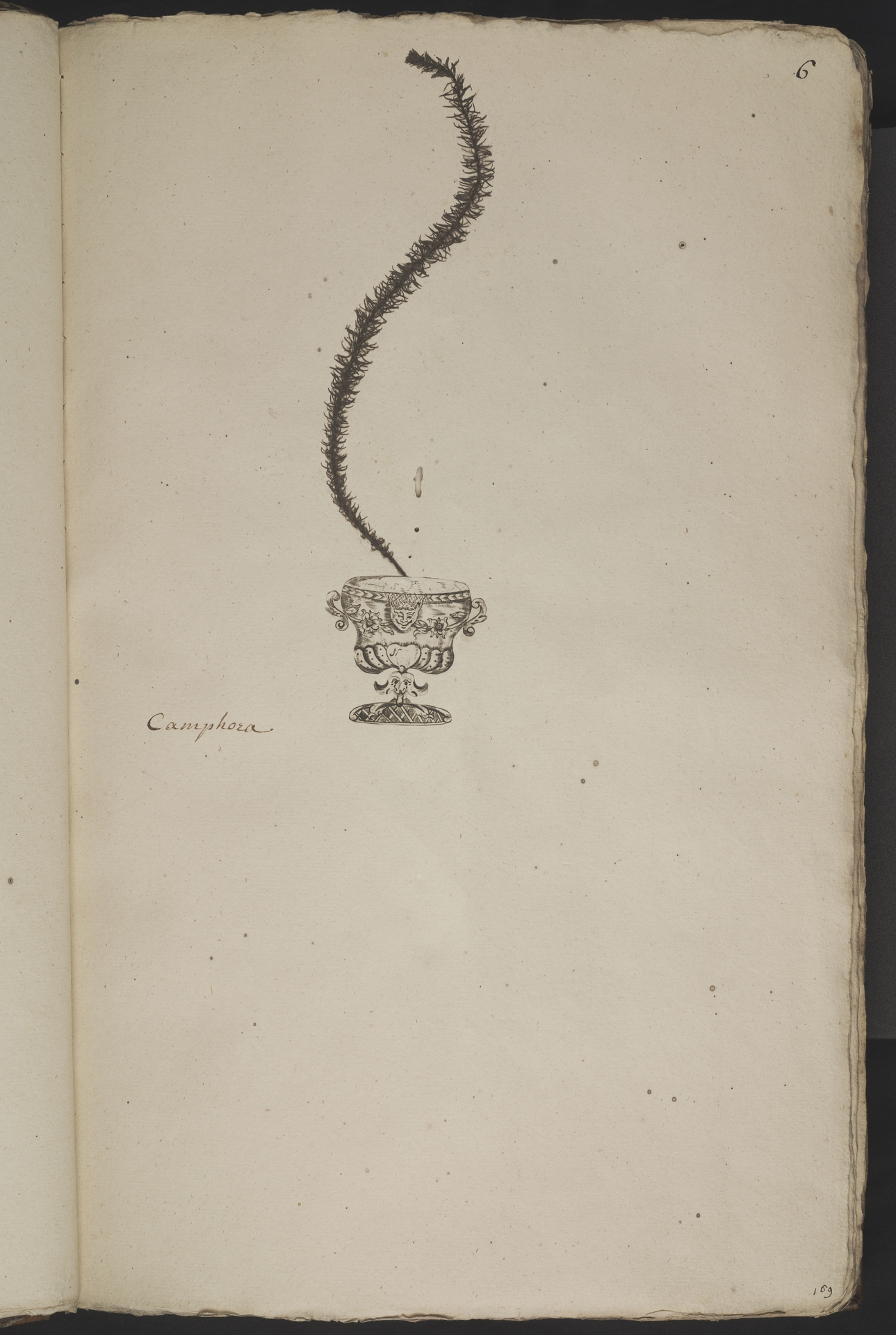 L.3960994 | Elodea nuttallii (Planch.) H.St.John