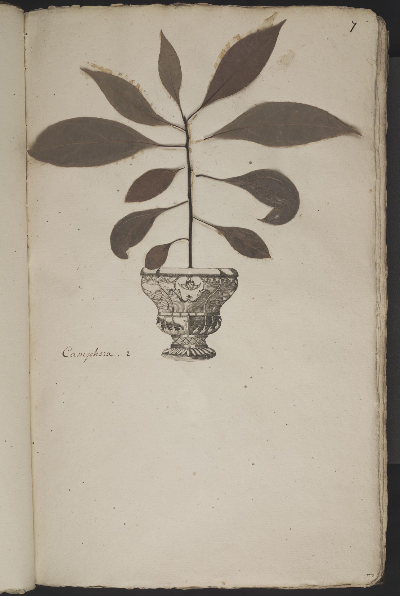 L.3960995 | Cinnamomum camphora (L.) J.Presl