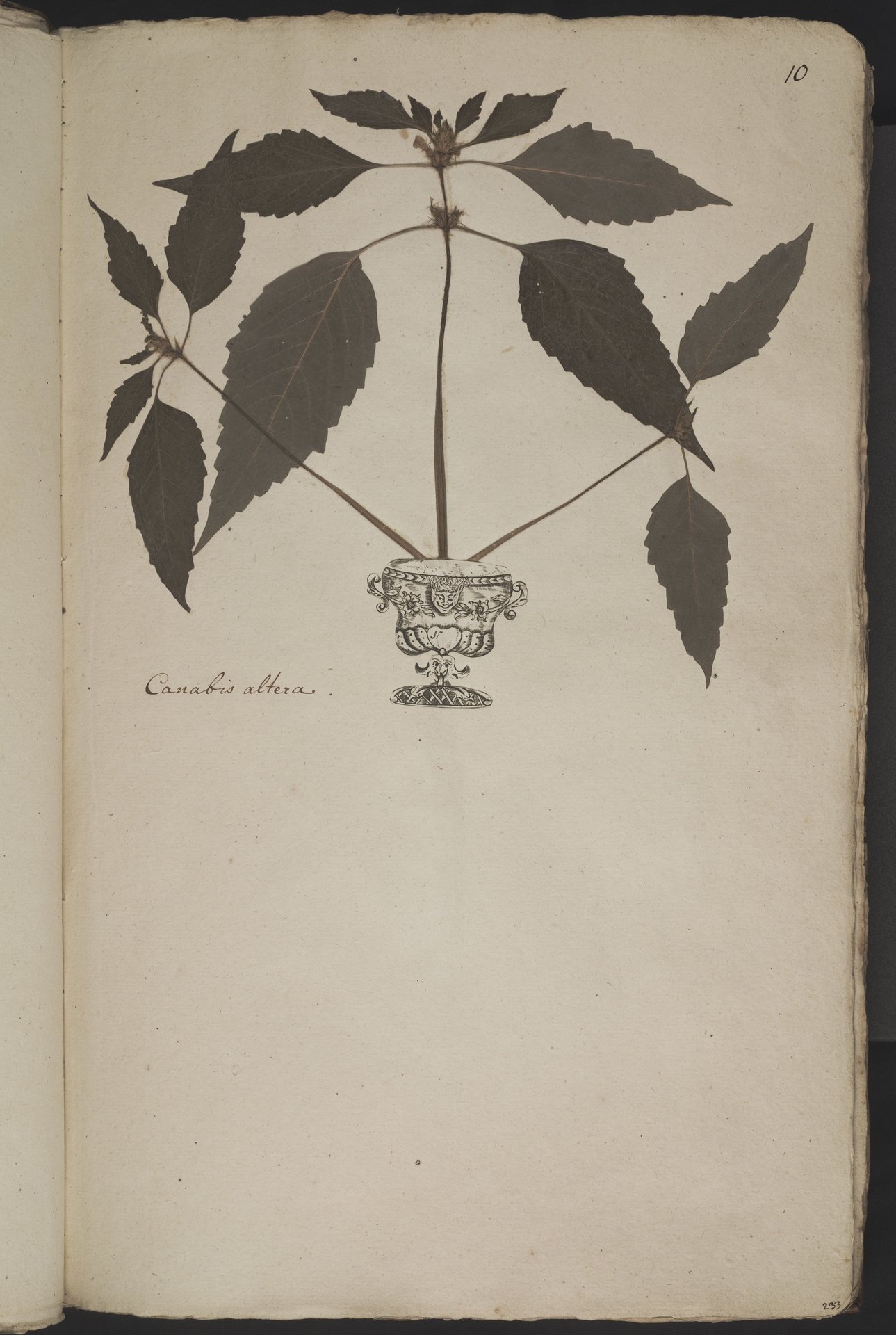 L.3960998 | Galeopsis tetrahit L.