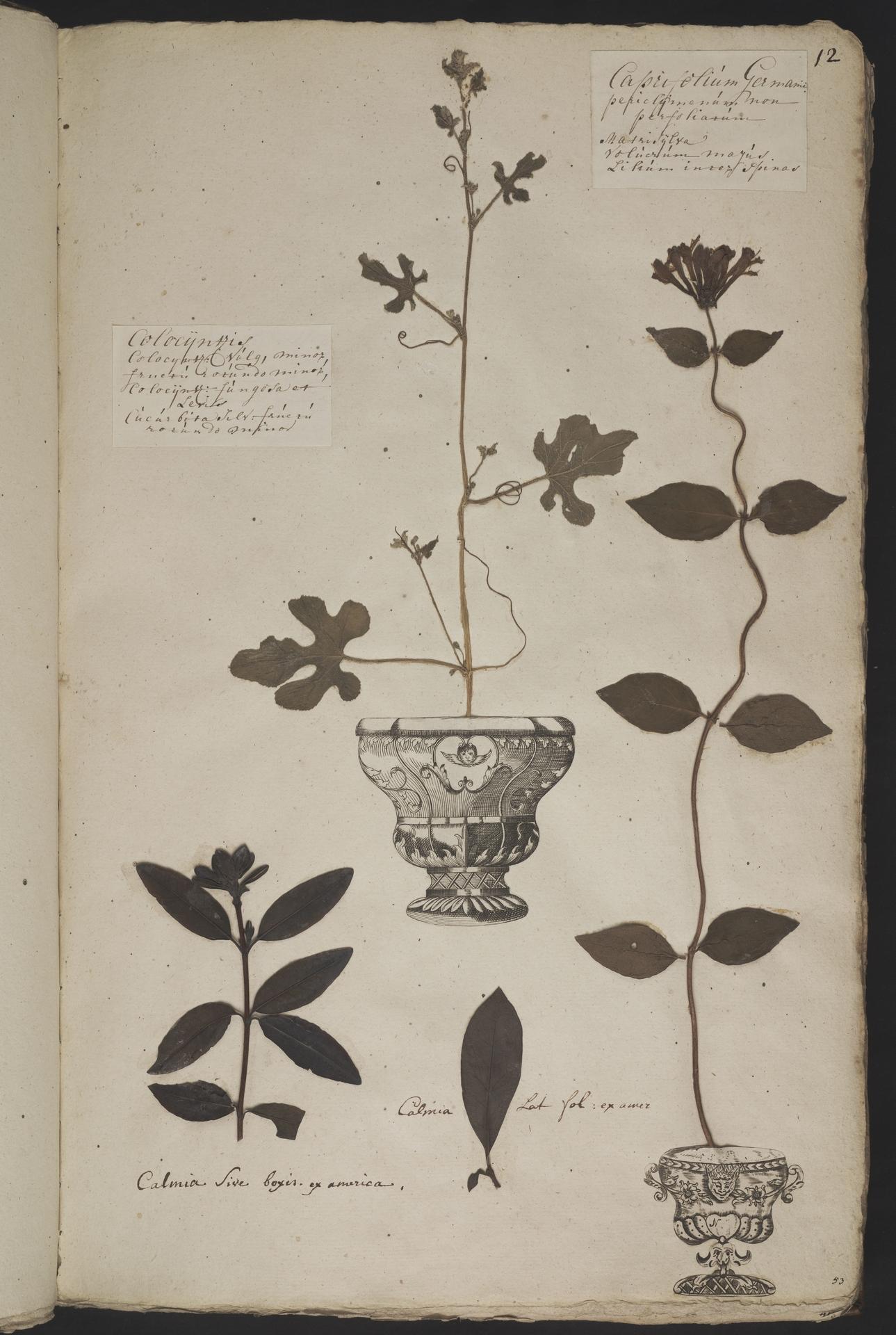 L.3961002 | Kalmia angustifolia L.