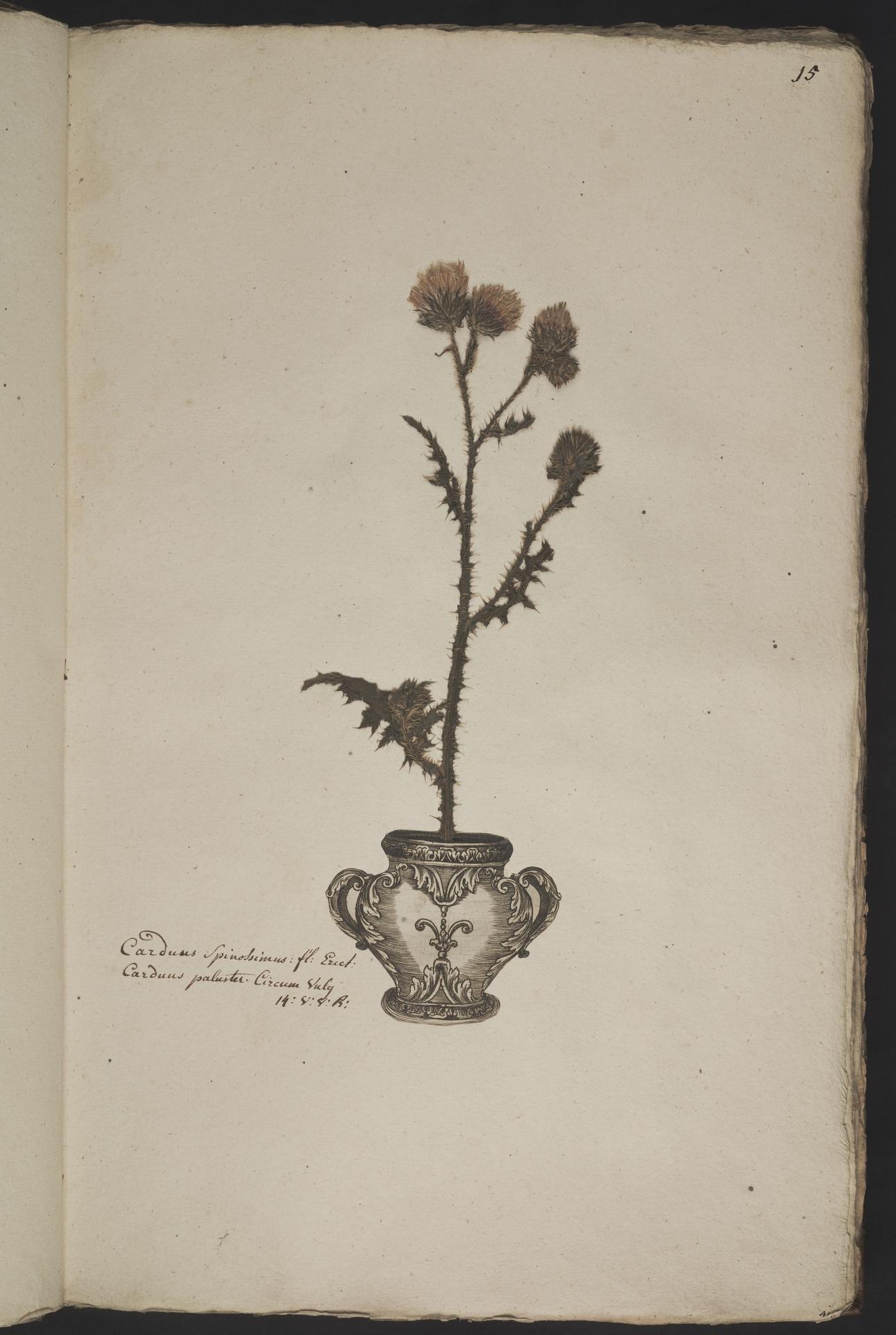 L.3961006 | Carduus crispus L.