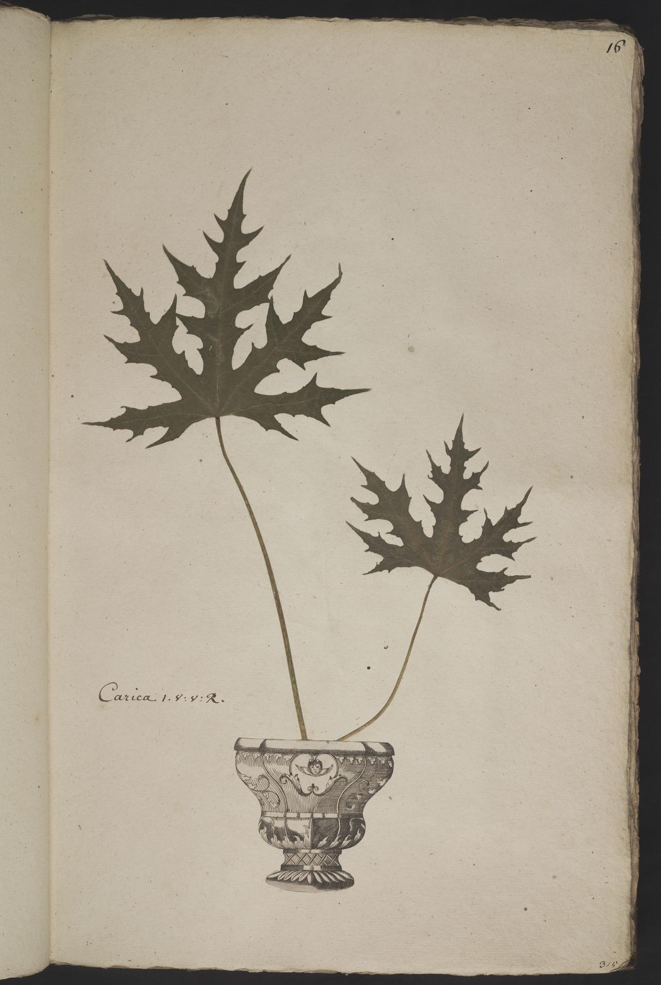 L.3961007 | Cnidoscolus aconitifolius (Mill.) I.M.Johnst.