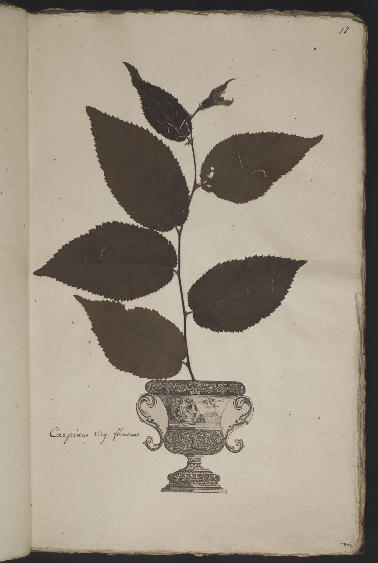 L.3961008 | Carpinus caroliniana Walter
