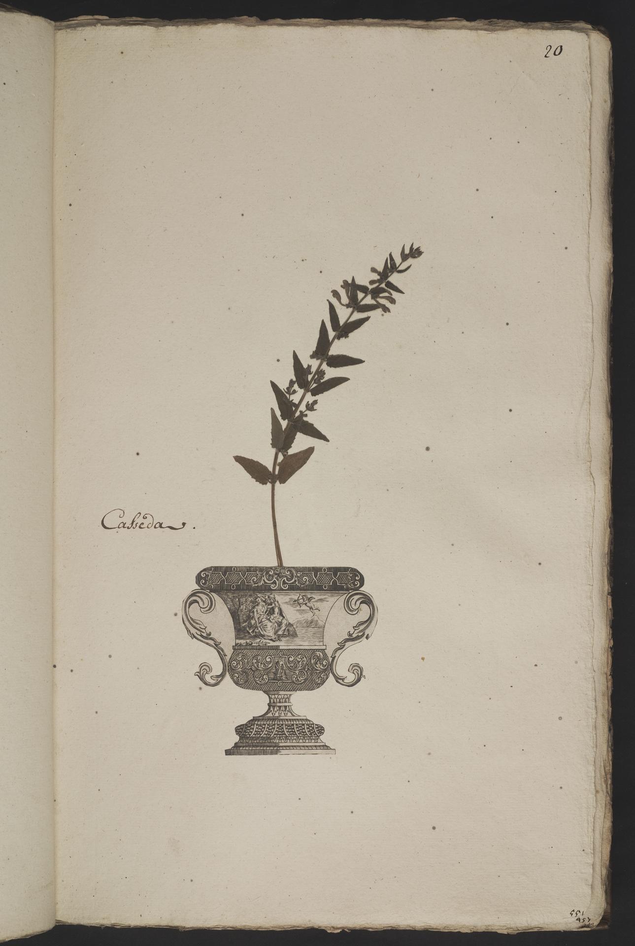 L.3961012 | Scutellaria galericulata L.