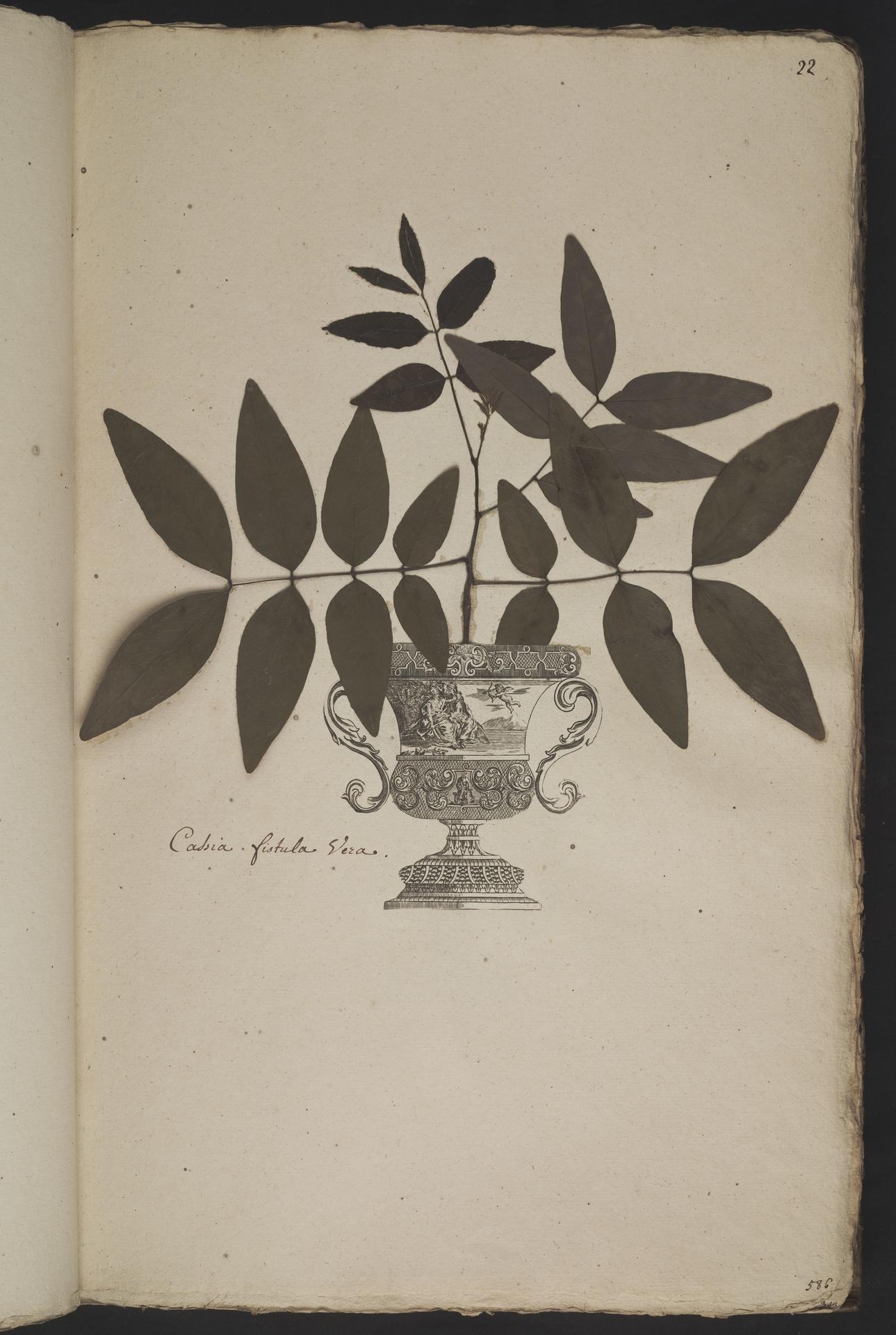 L.3961014 | Cassia fistula L.