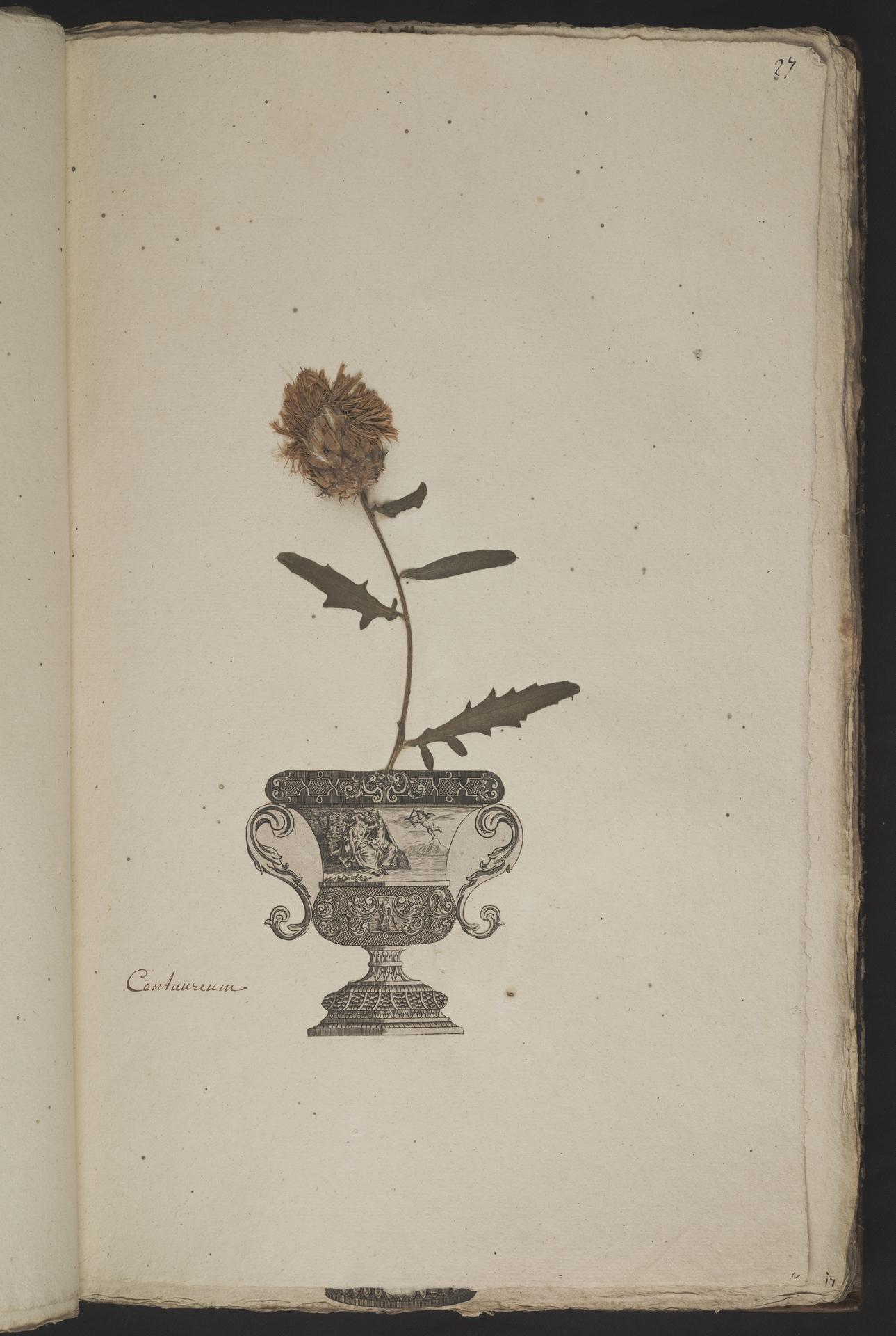 L.3961019 | Centaurea scabiosa L.