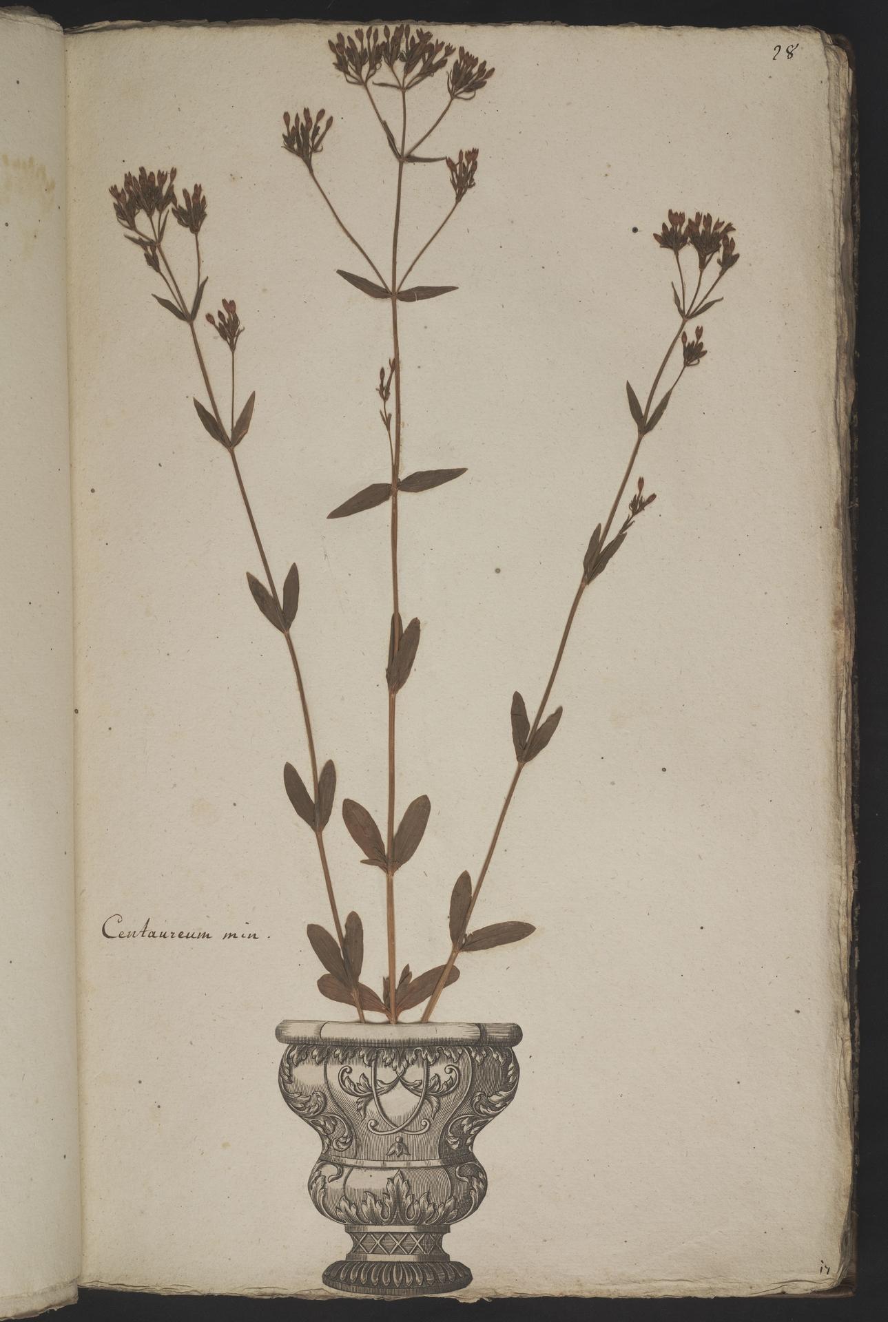 L.3961020 | Centaurium erythraea Rafn