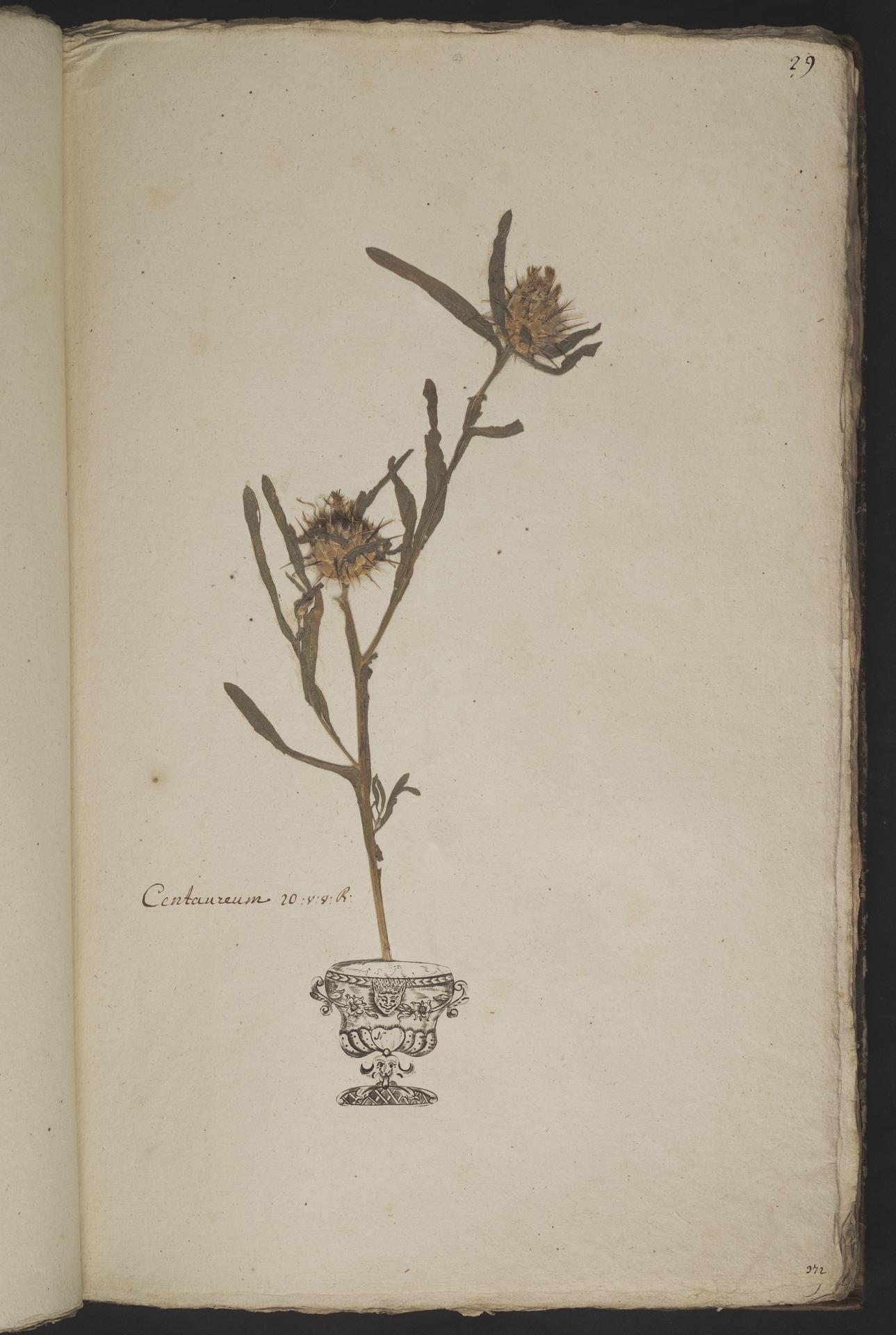 L.3961021 | Centaurea melitensis L.