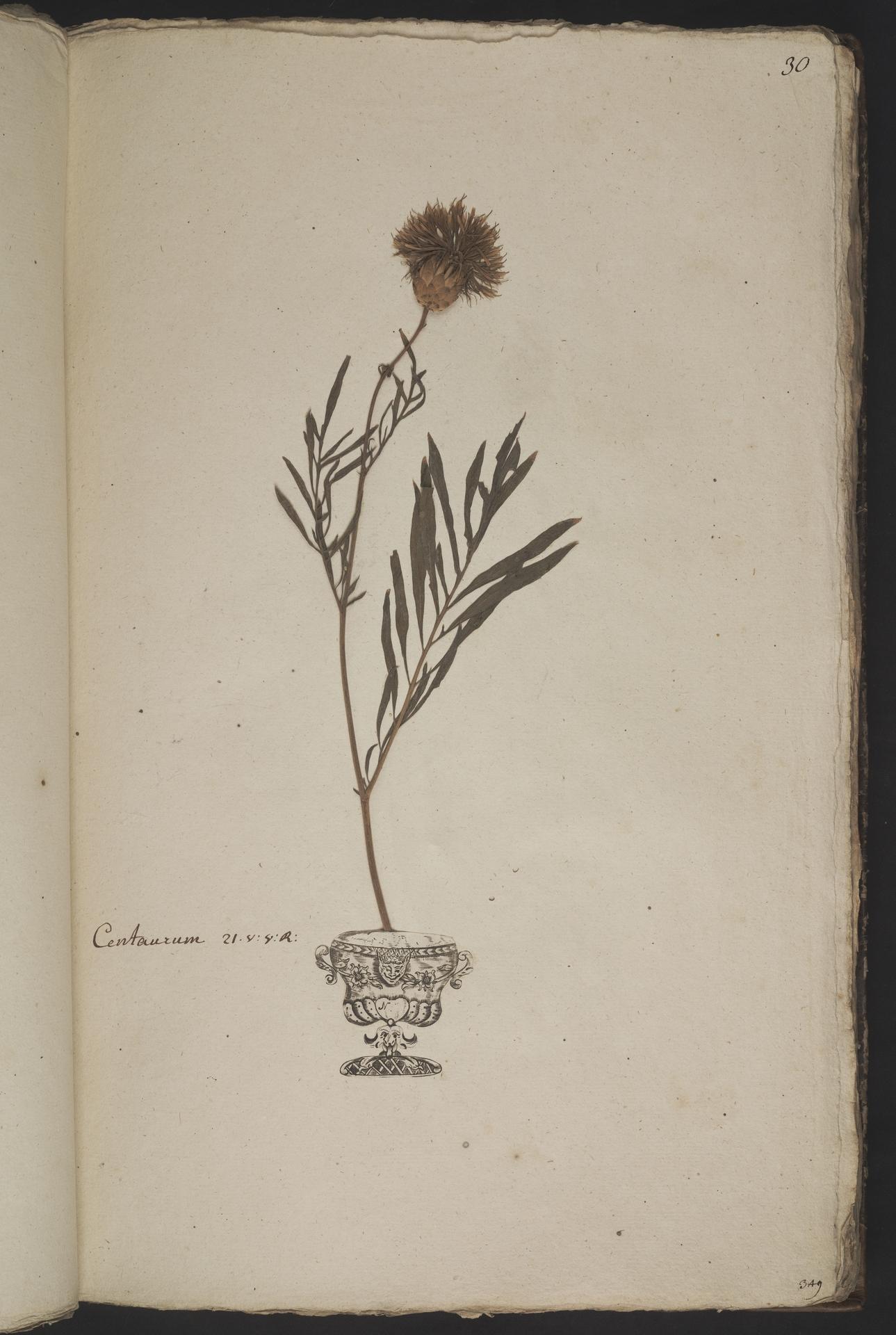 L.3961022   Centaurea centaurium L.